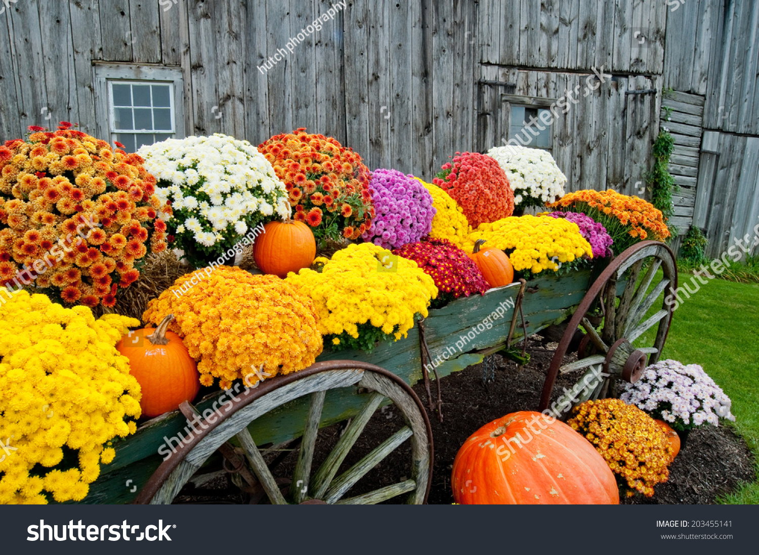 Colorful Flowers In Rustic Wagon With Pumpkins At Fall Roadside Stand Barn Background