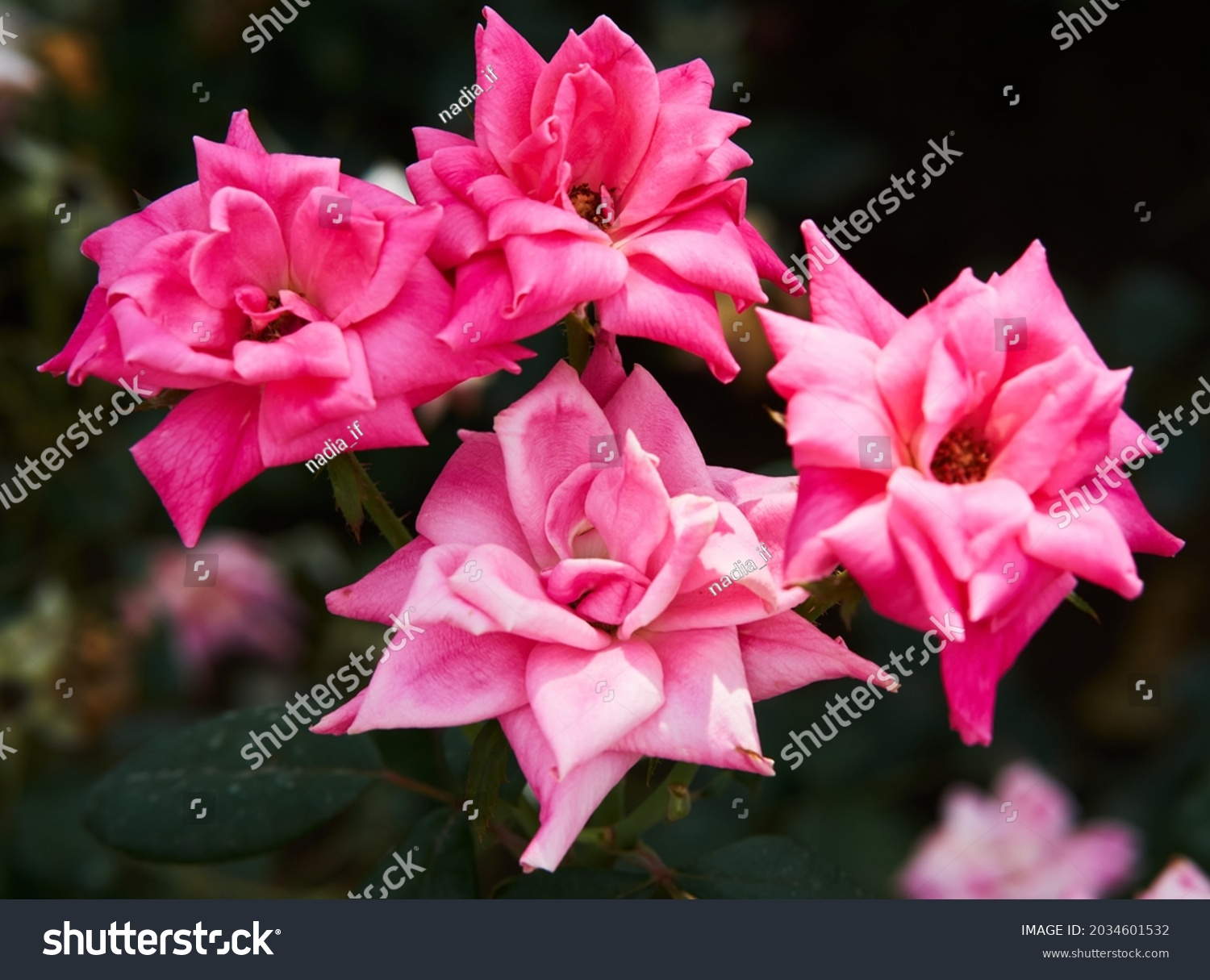 Pink rose flower with green leaves on a blurry dark background. Beautiful blooming of a bright pink rose in a summer garden on a sunny day. High quality photo #2034601532
