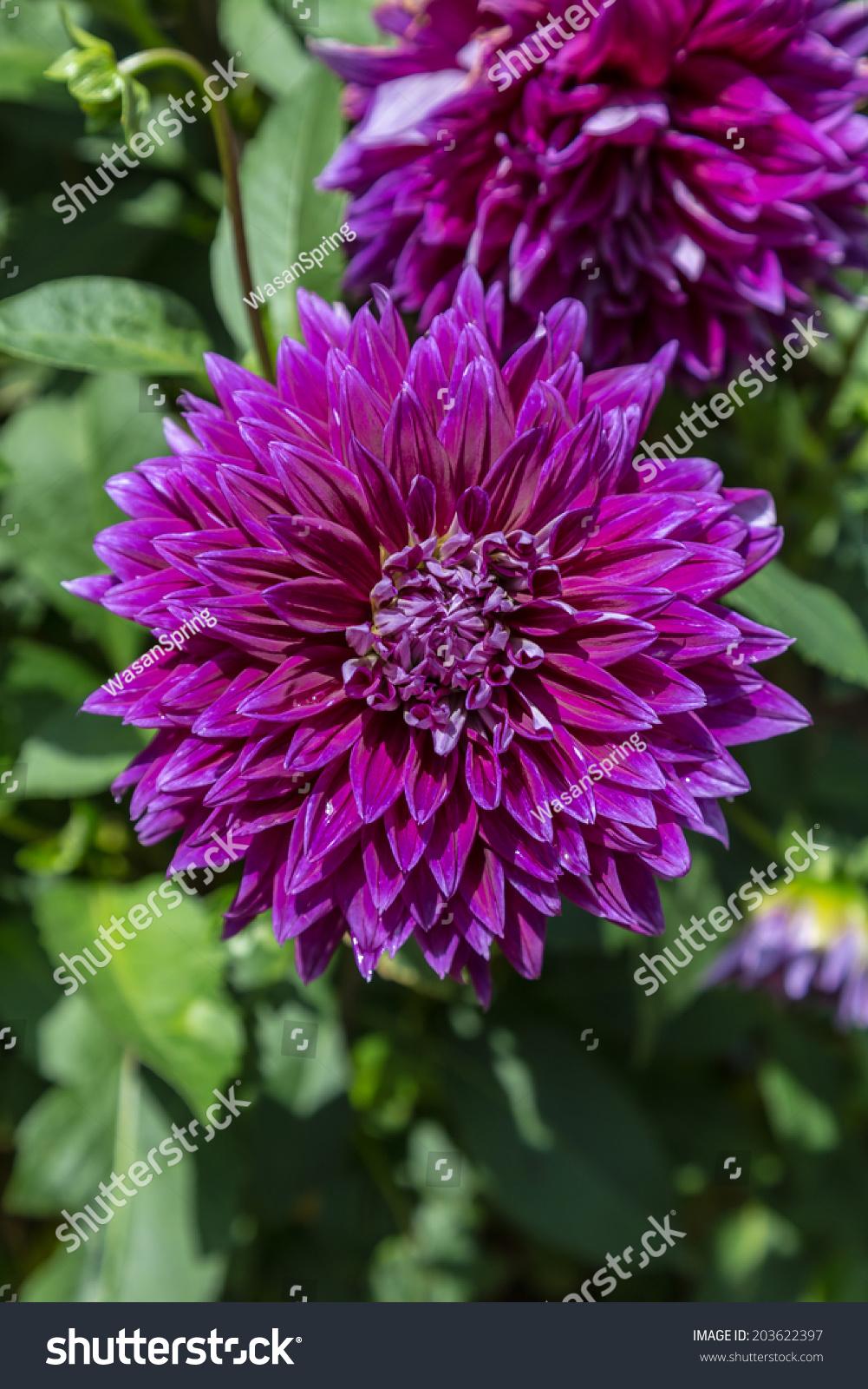 Purple dahlia flowers ez canvas id 203622397 izmirmasajfo