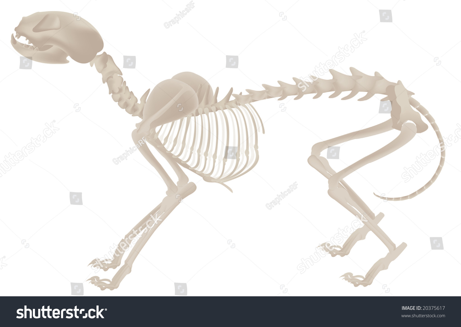 Dog Bones Structure Skeletal System Illustration Stock Illustration ...