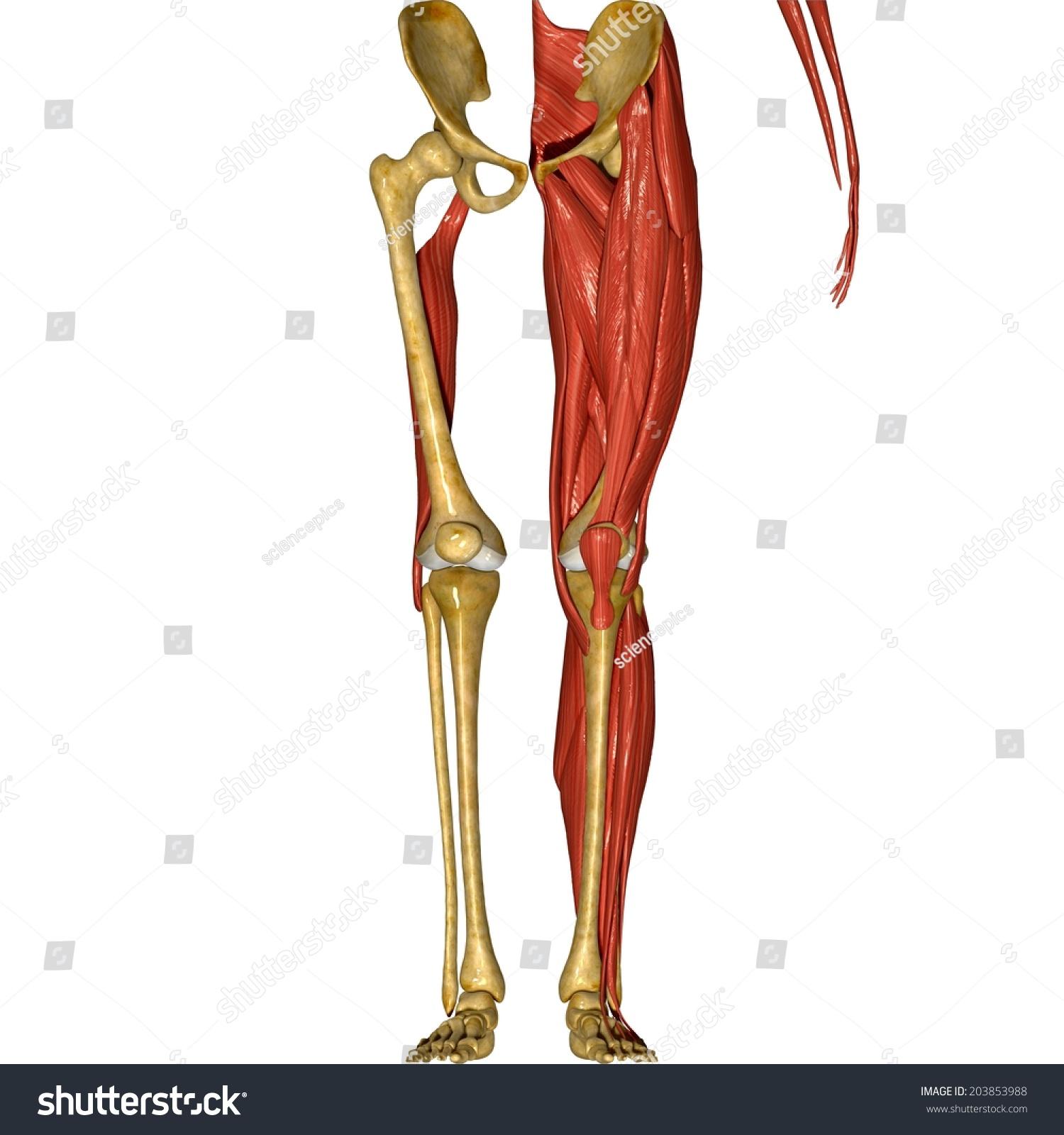 Leg Muscles Stock Illustration 203853988 Shutterstock