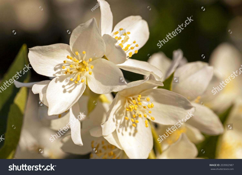 Jasmine Flower Ez Canvas