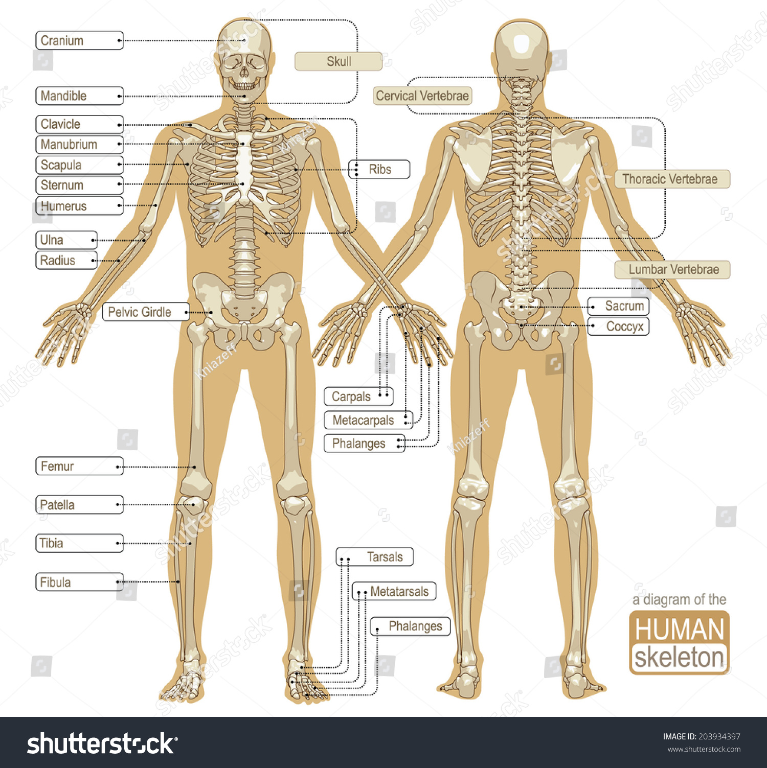 diagram human skeleton main parts skeletal stock vector 203934397, Human Body