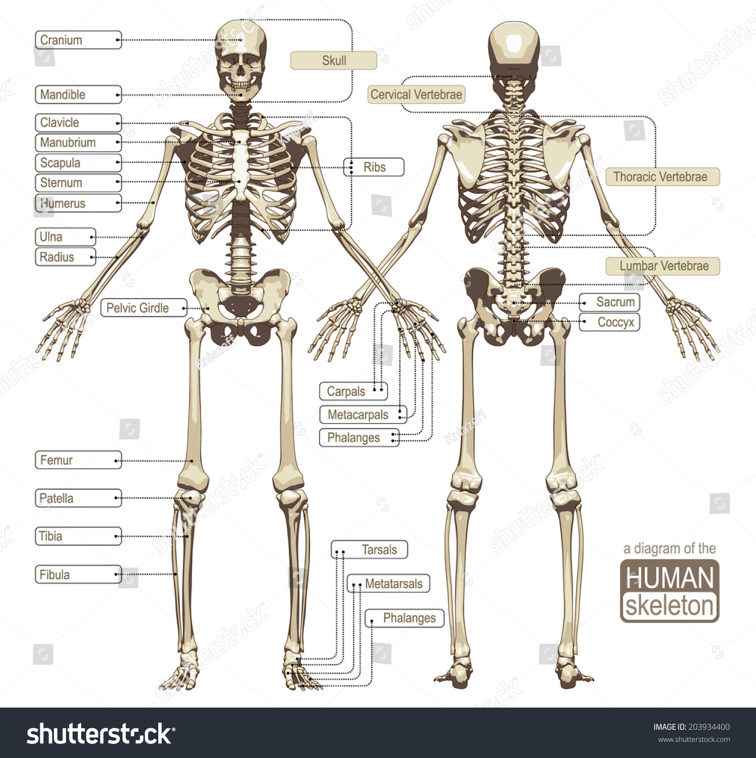 diagram human skeleton main parts skeletal stock vector 203934400, Skeleton