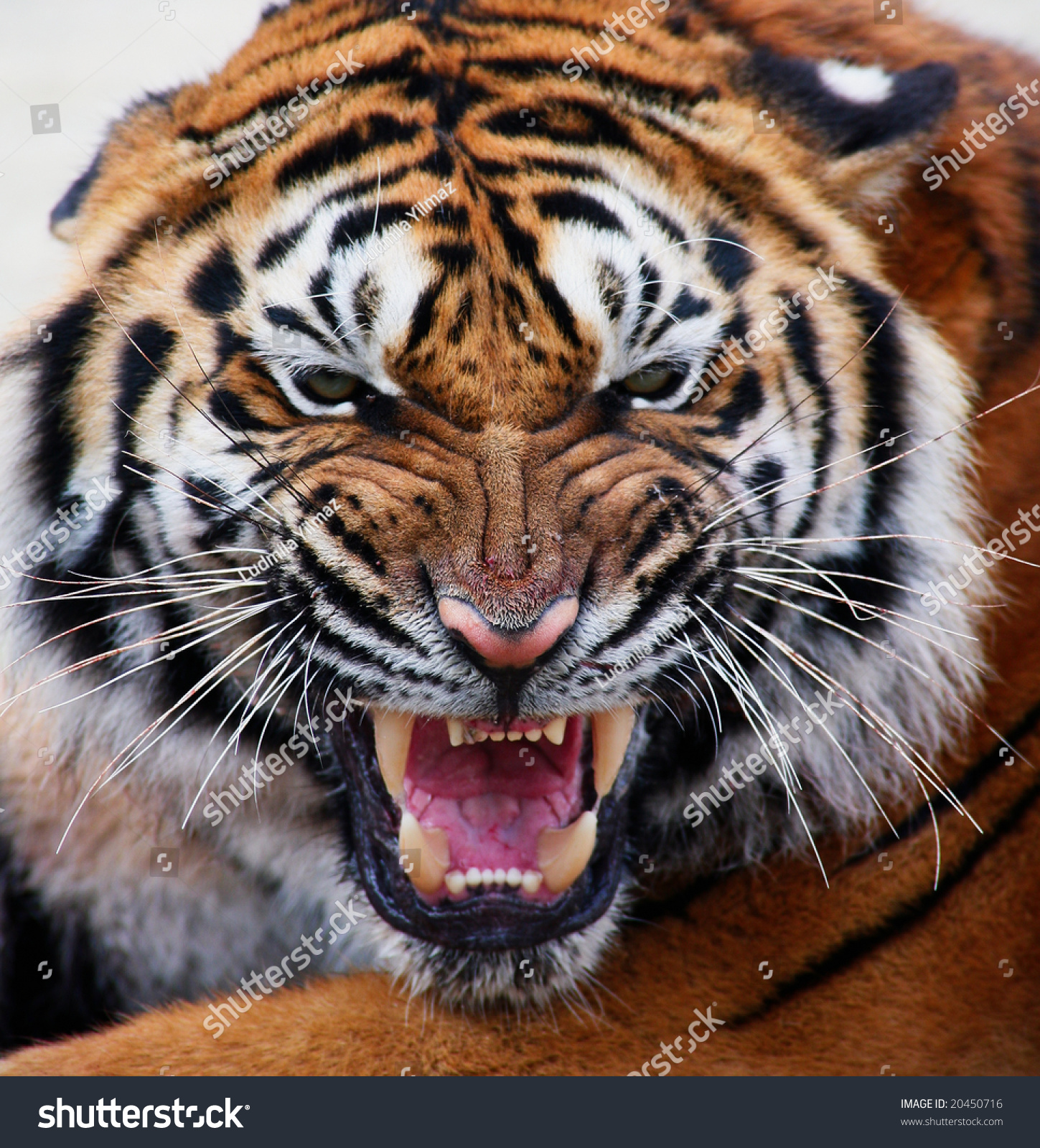 Close Up Of A Tiger'S Face With Bare Teeth Tiger Panthera ...