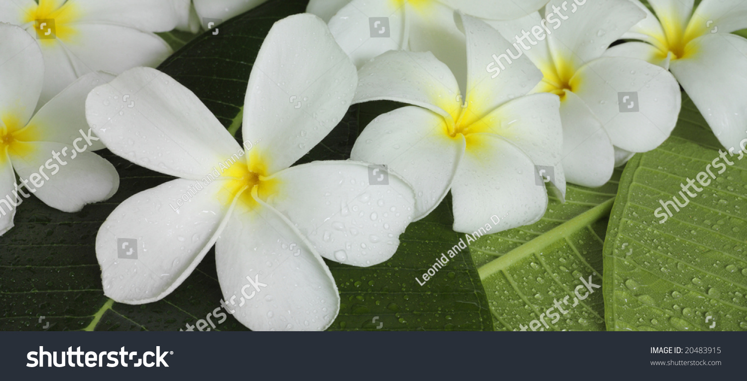 Exotic Tropical Flowers White Colour Stock Photo Edit Now 20483915