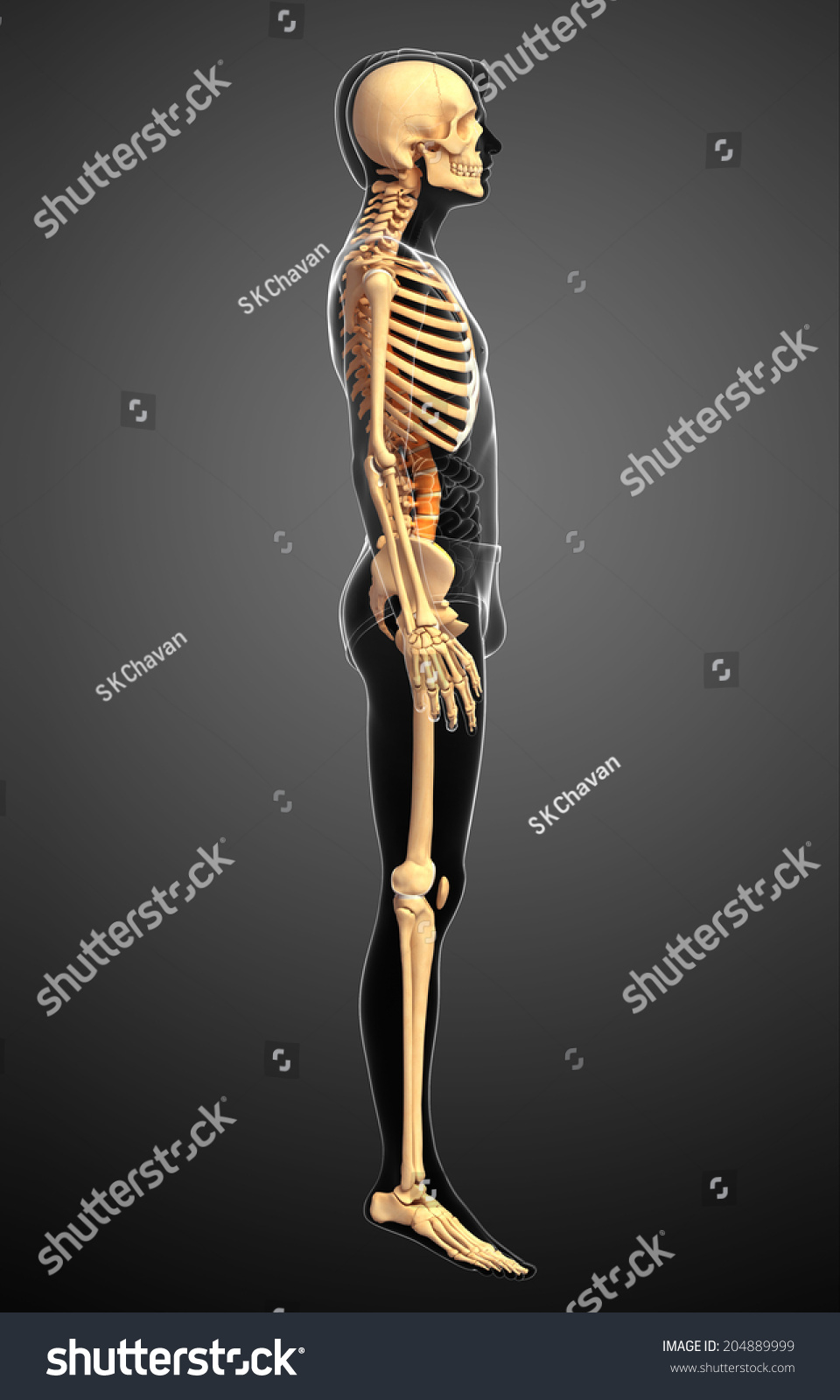 Human Skeleton Side View – craftbrewswag.info