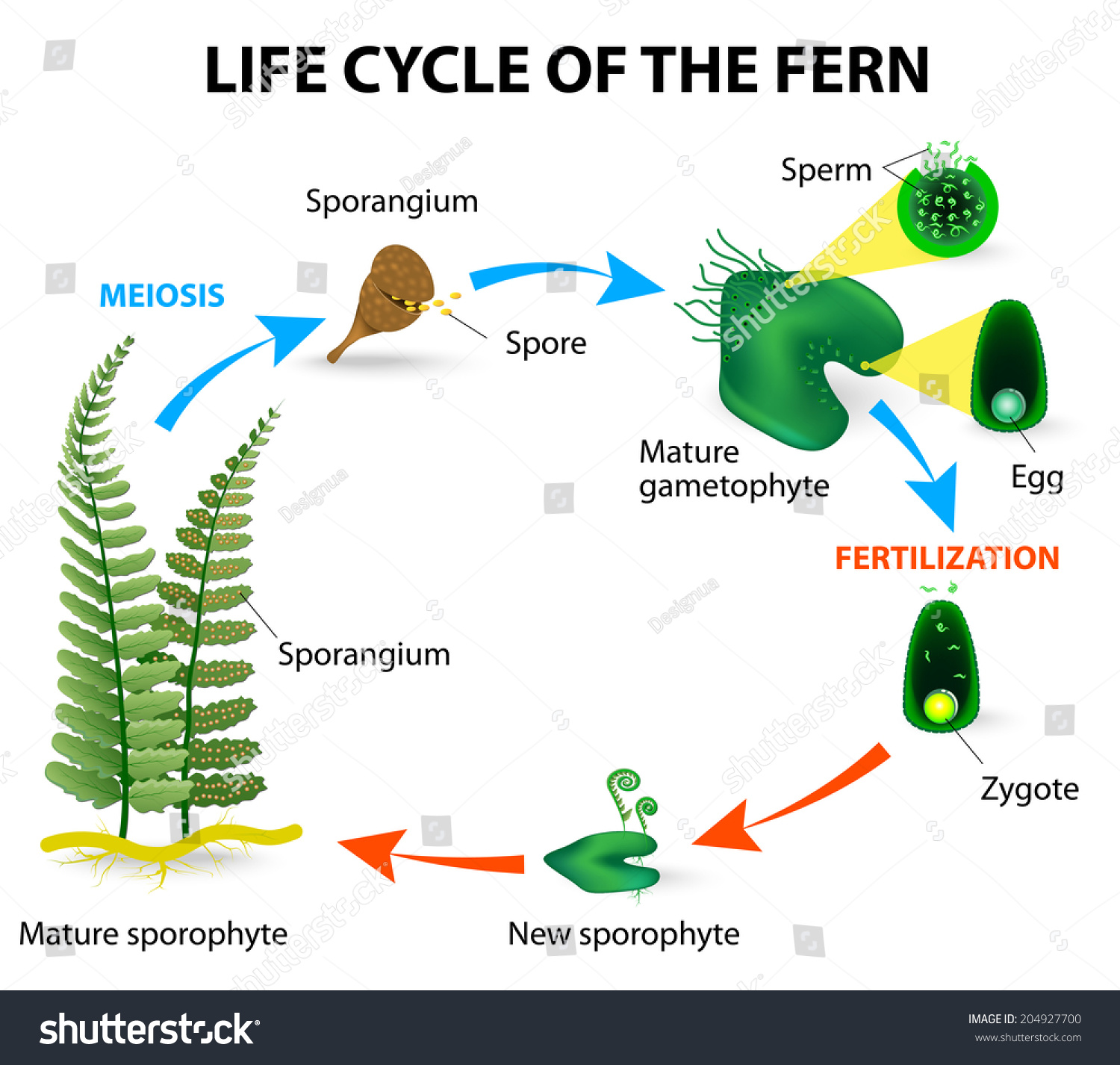 Simple plant life cycle diagram simple plant life cycle diagram photo11 pooptronica Choice Image