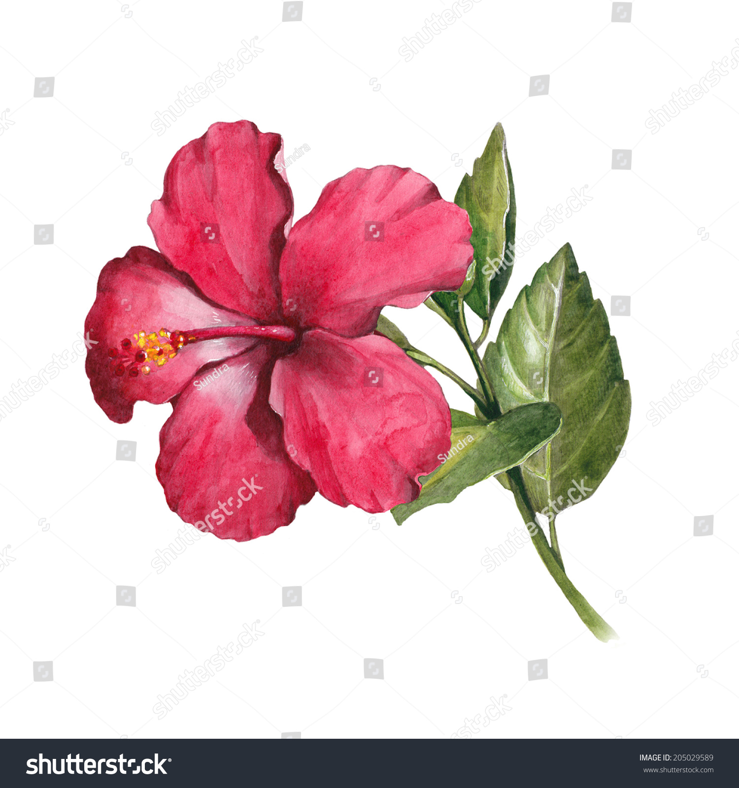 Watercolor Hibiscus Flower Illustration Stock Illustration 205029589