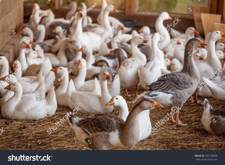 Кормление домашних гусей - Своя ферма 35
