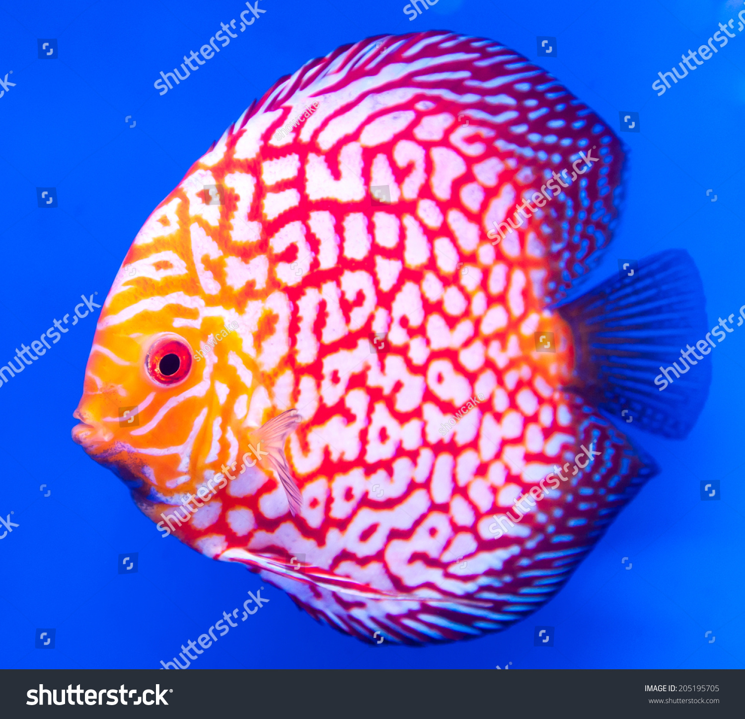 Freshwater fish amazon - Spotted Blue Discus Freshwater Fish Native To The Amazon River Isolated
