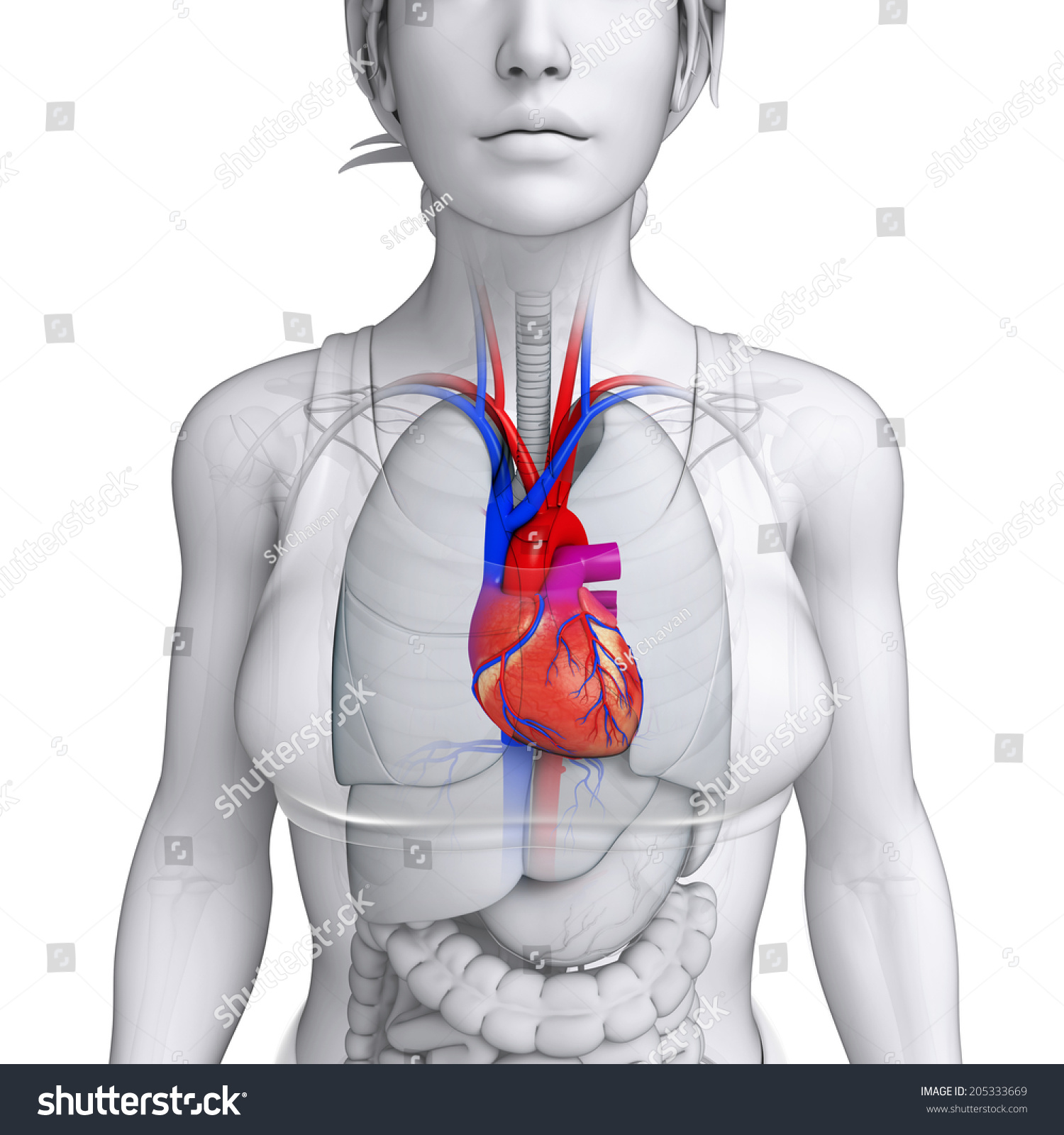 Illustration Female Heart Anatomy Stock Illustration 205333669 ...