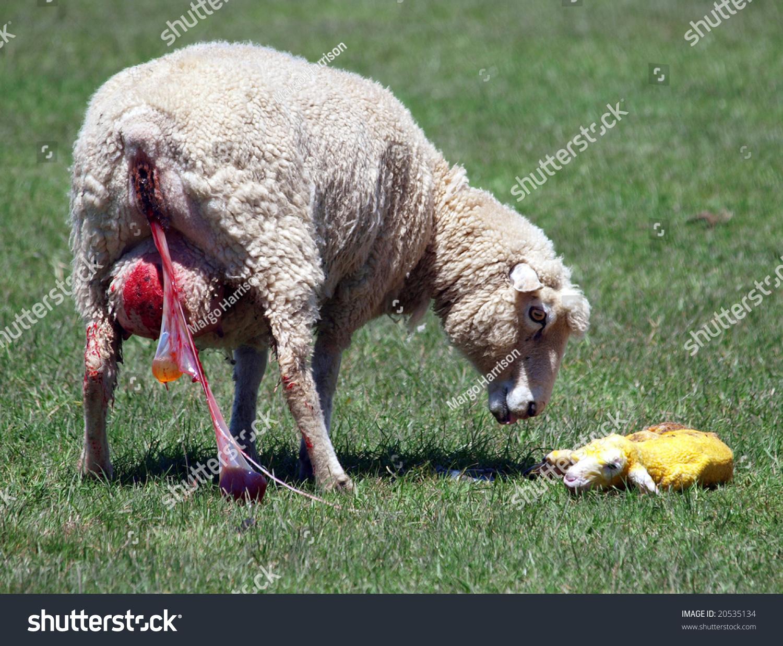 Ewe Inspects Her Newborn Lamb 3 Stock Photo 20535134 - Shutterstock