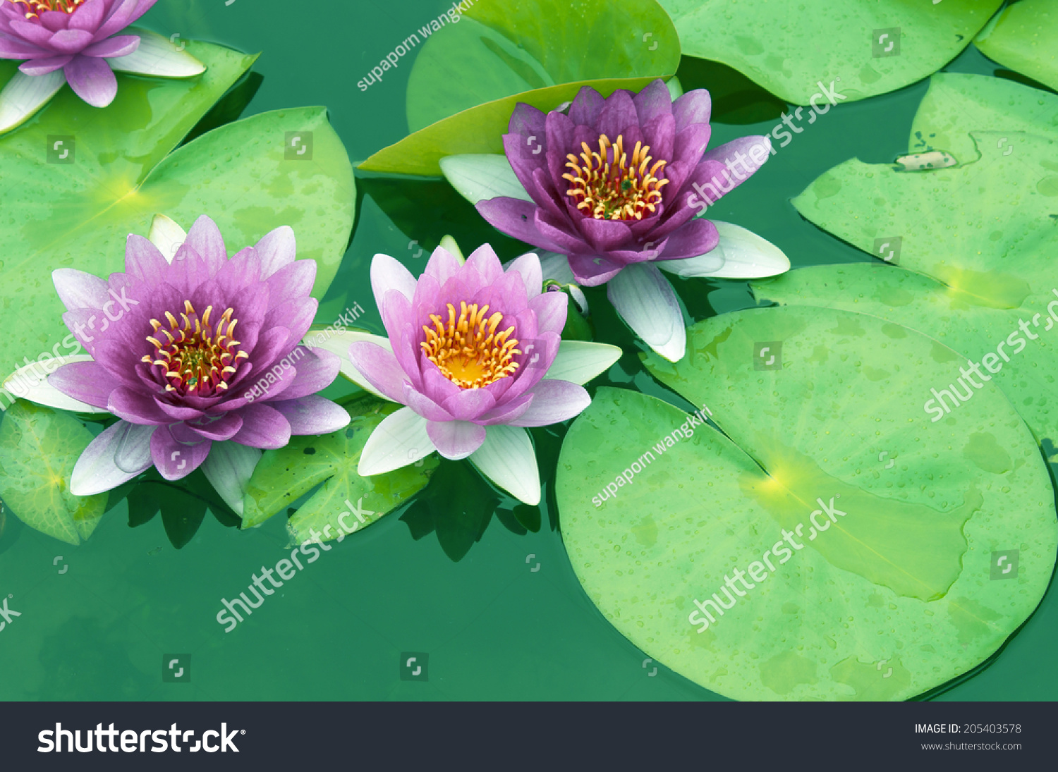 This Beautiful Water Lily Lotus Flower Stock Photo Edit Now