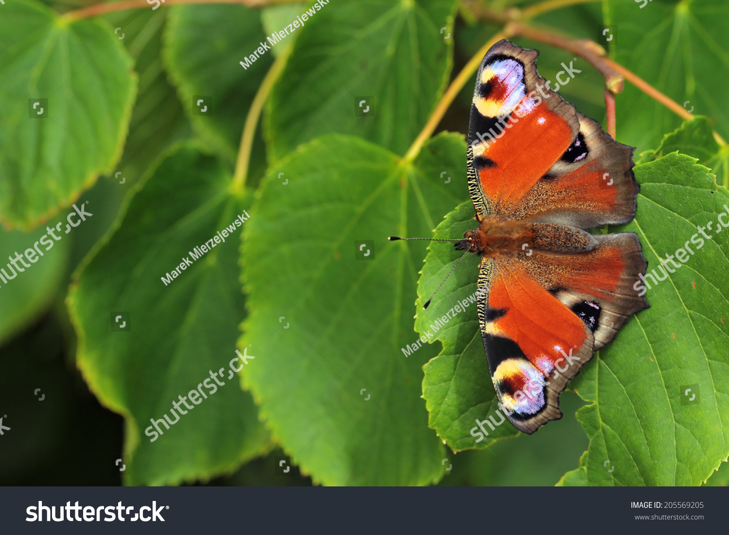 Green peacock butterfly - photo#11