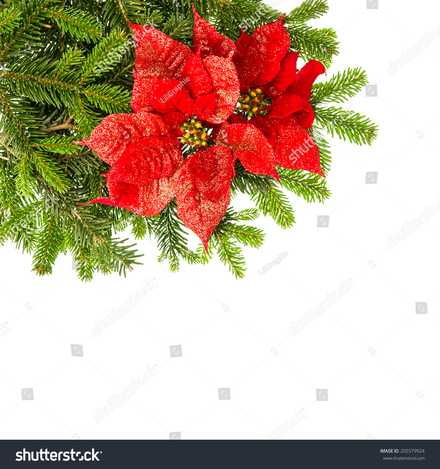 Christmas Tree Branch Red Poinsettia Flower Stock Photo ...  Red Christmas Tree White Background