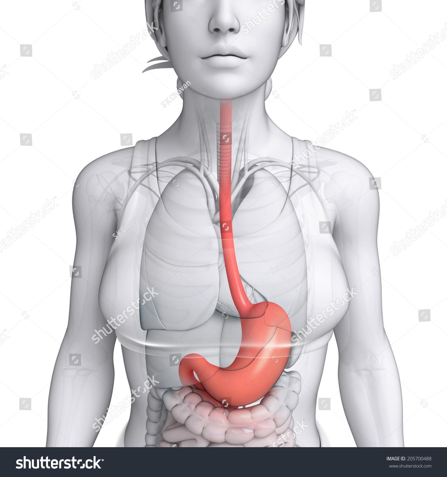 Illustration Female Stomach Anatomy Stock Illustration 205700488 ...
