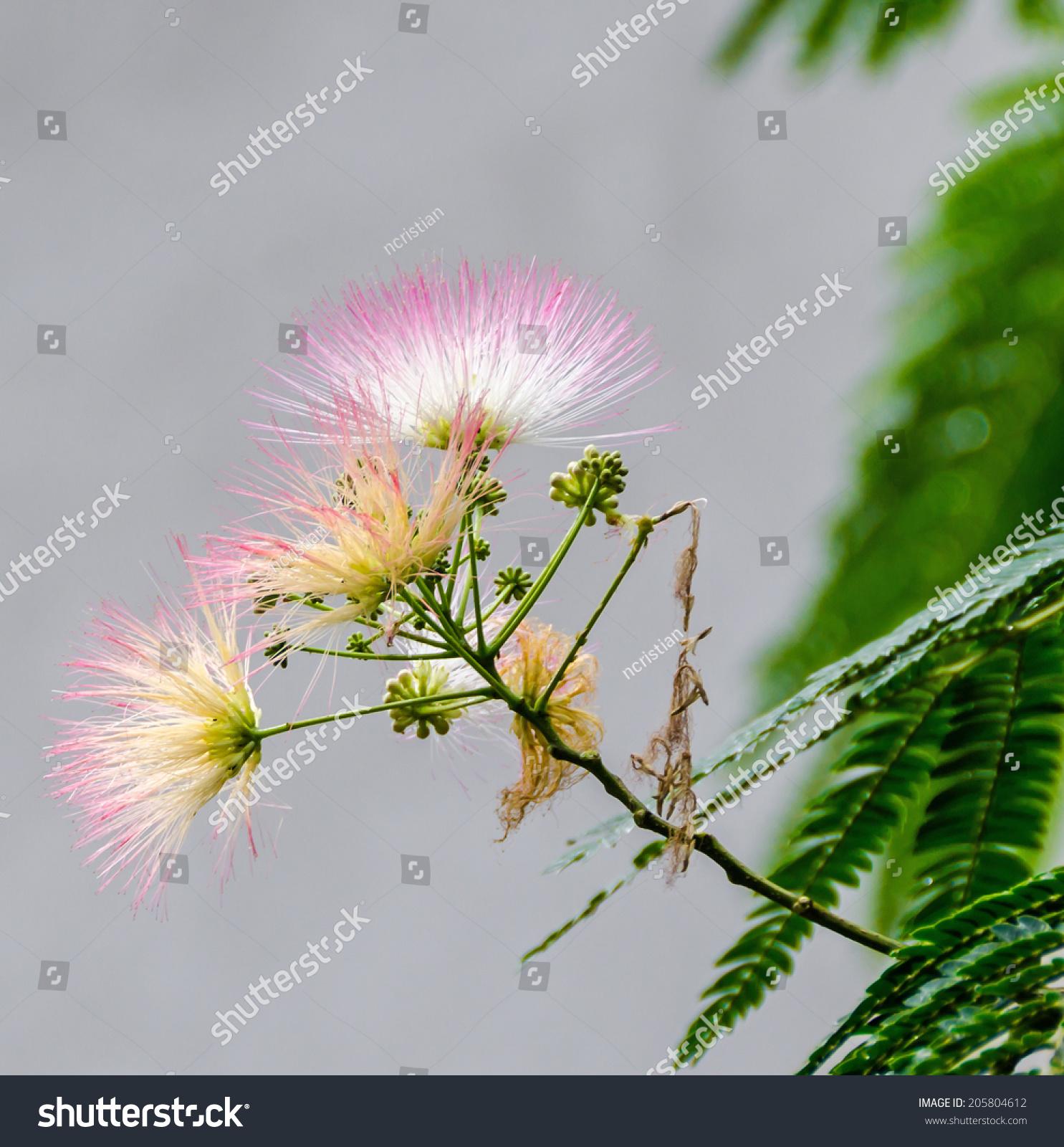 Albizia Julibrissin Tree Flower Persian Silk Tree Pink Silk Tree