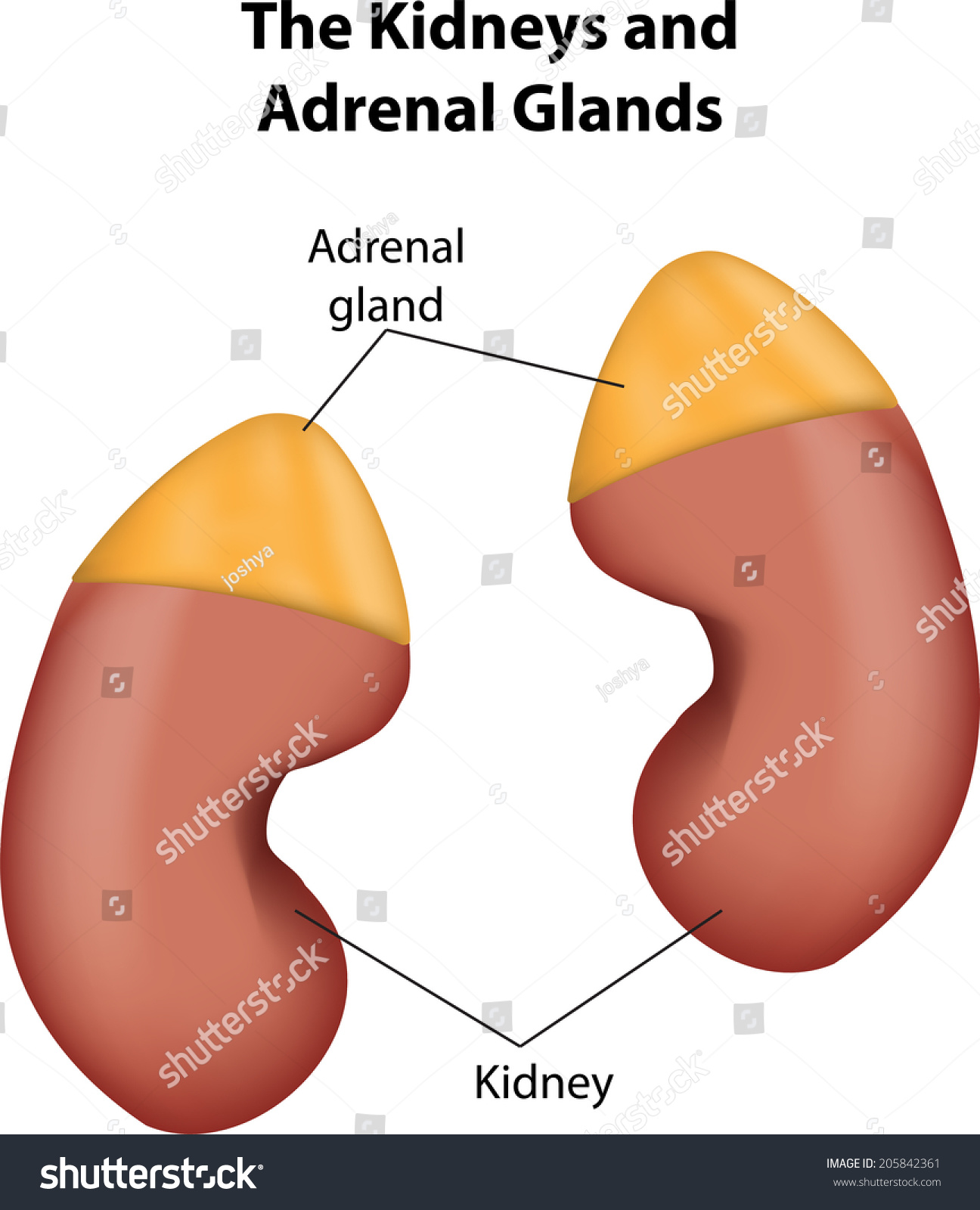 Kidneys And Adrenal Glands Labeled Diagram Stock Photo