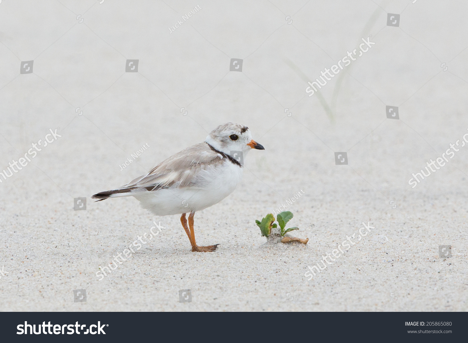 Baby piping plover - photo#25