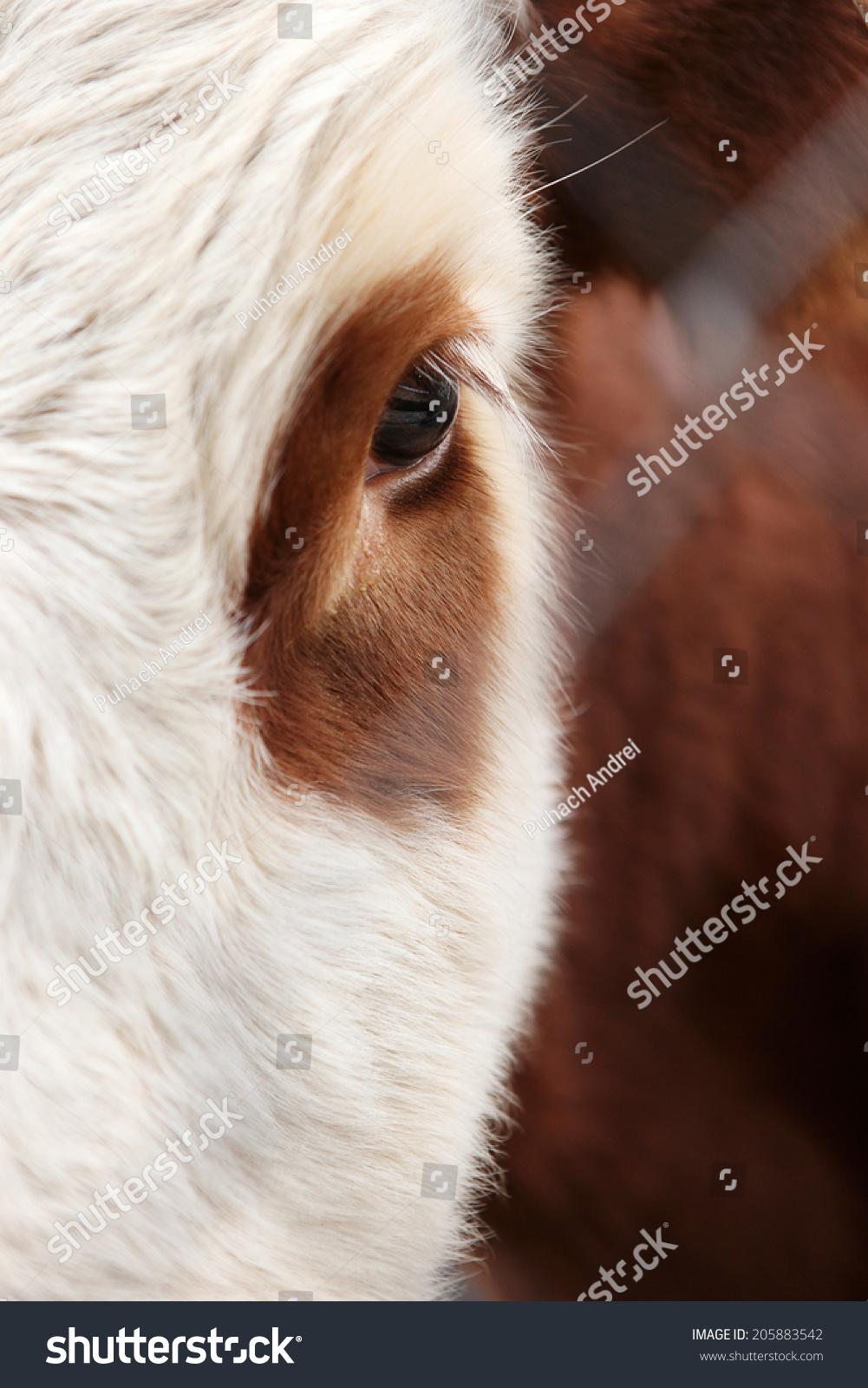 Large Eyes Eyelashes Cow Bull Stock Photo Edit Now 205883542