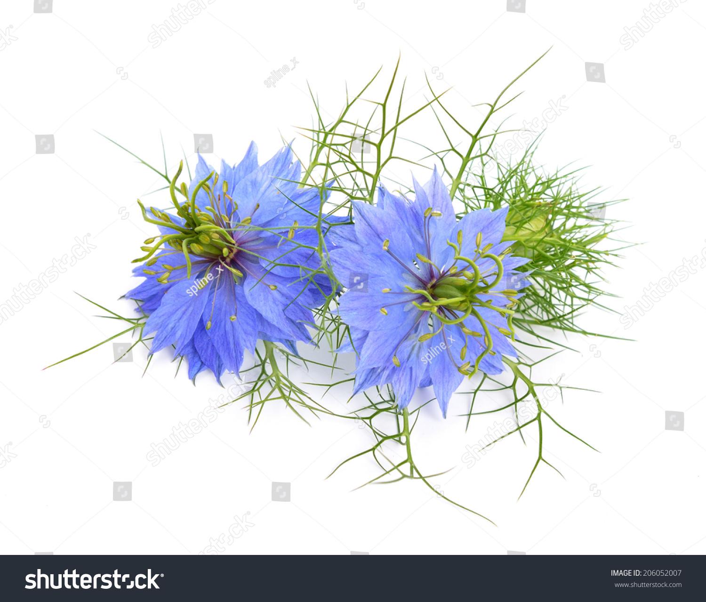 nigella sativa or fennel flower nutmeg flower black caraway roman coriander black cumin. Black Bedroom Furniture Sets. Home Design Ideas