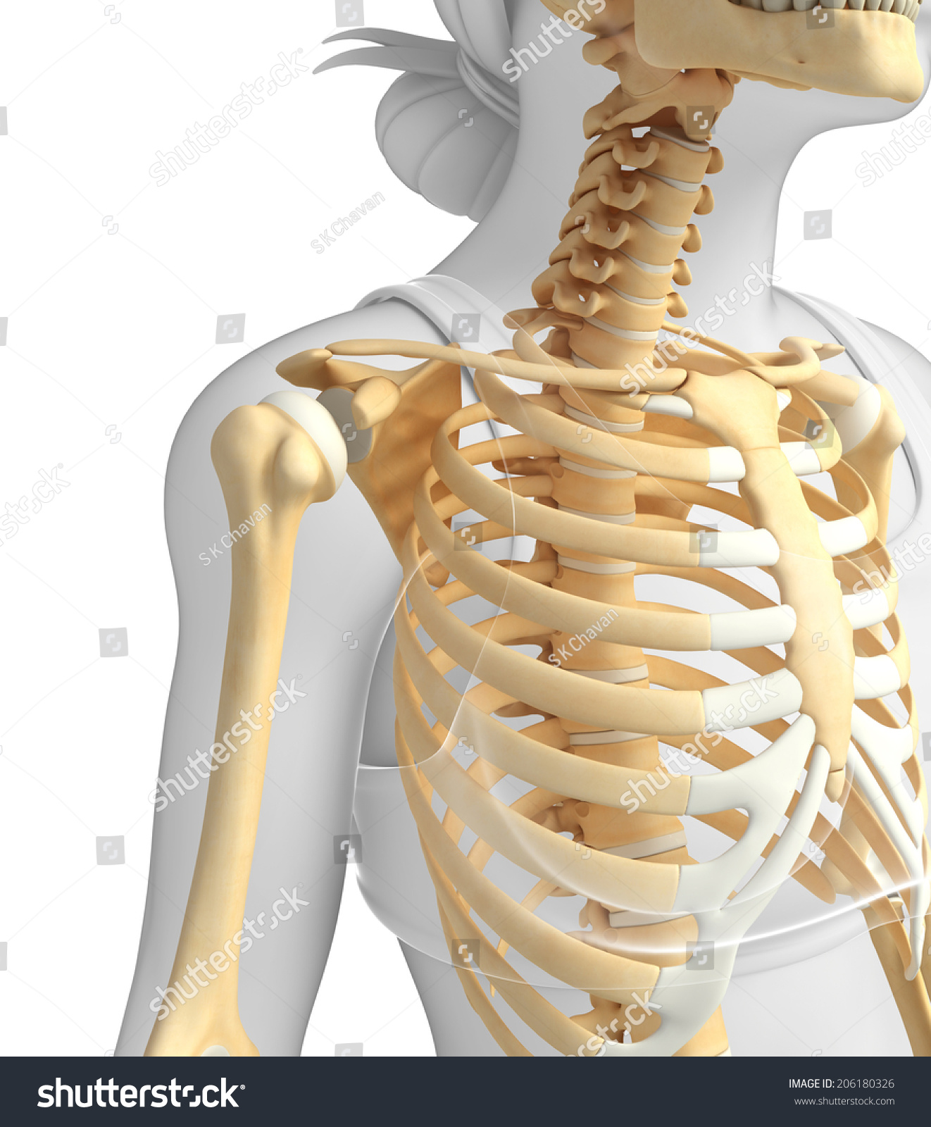 Female Shoulder Skeletal Anatomy Stock Illustration Royalty Free