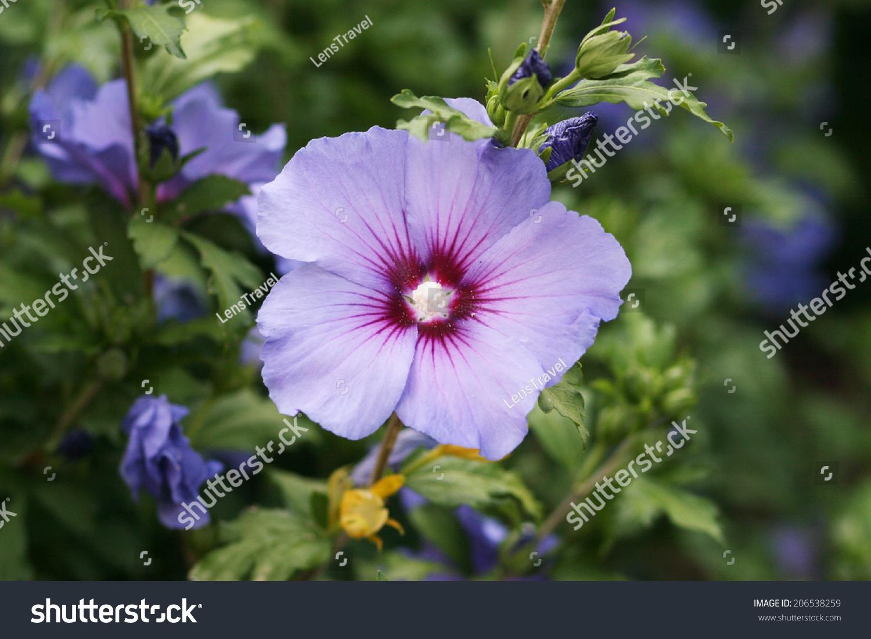 Blue violet white flowers hibiscus syriacus stock photo royalty blue violet white flowers of hibiscus syriacus izmirmasajfo