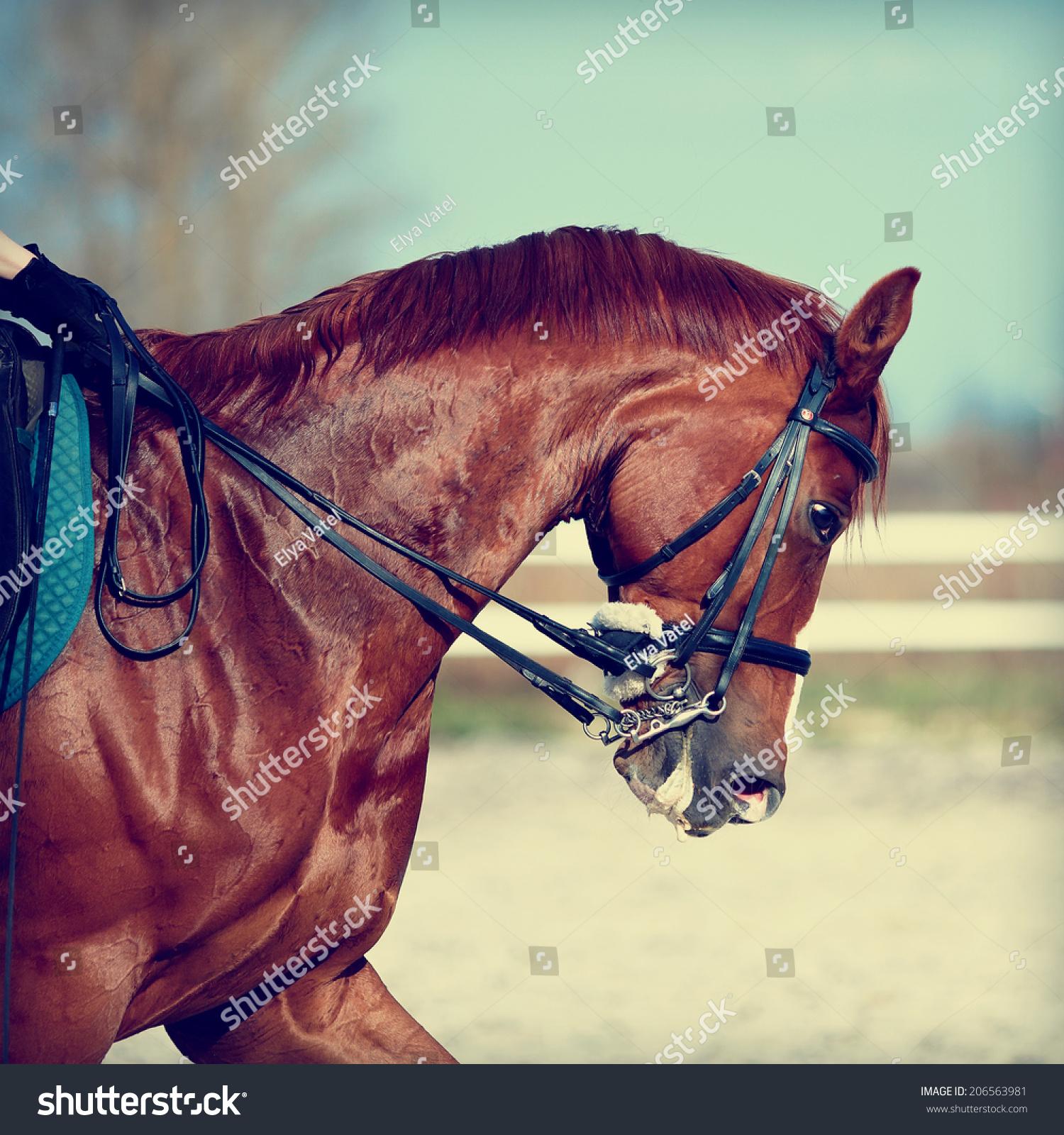 Brown Stallion Portrait Sports Red Horse Stock Photo Edit Now 206563981