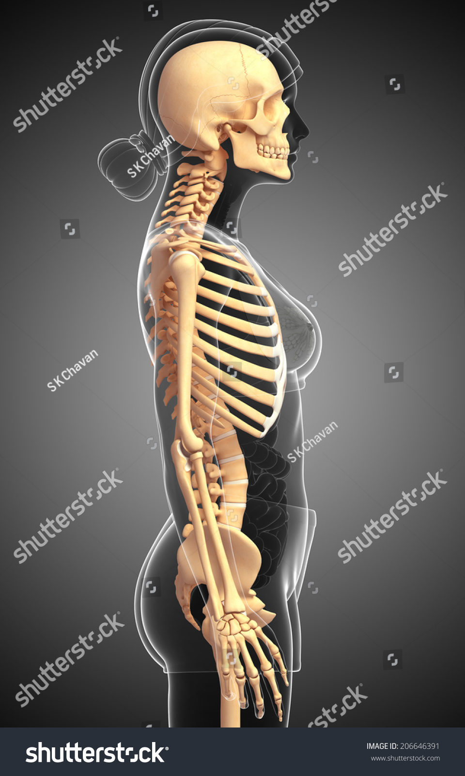 Illustration Human Skeleton Side View Stock Illustration 206646391