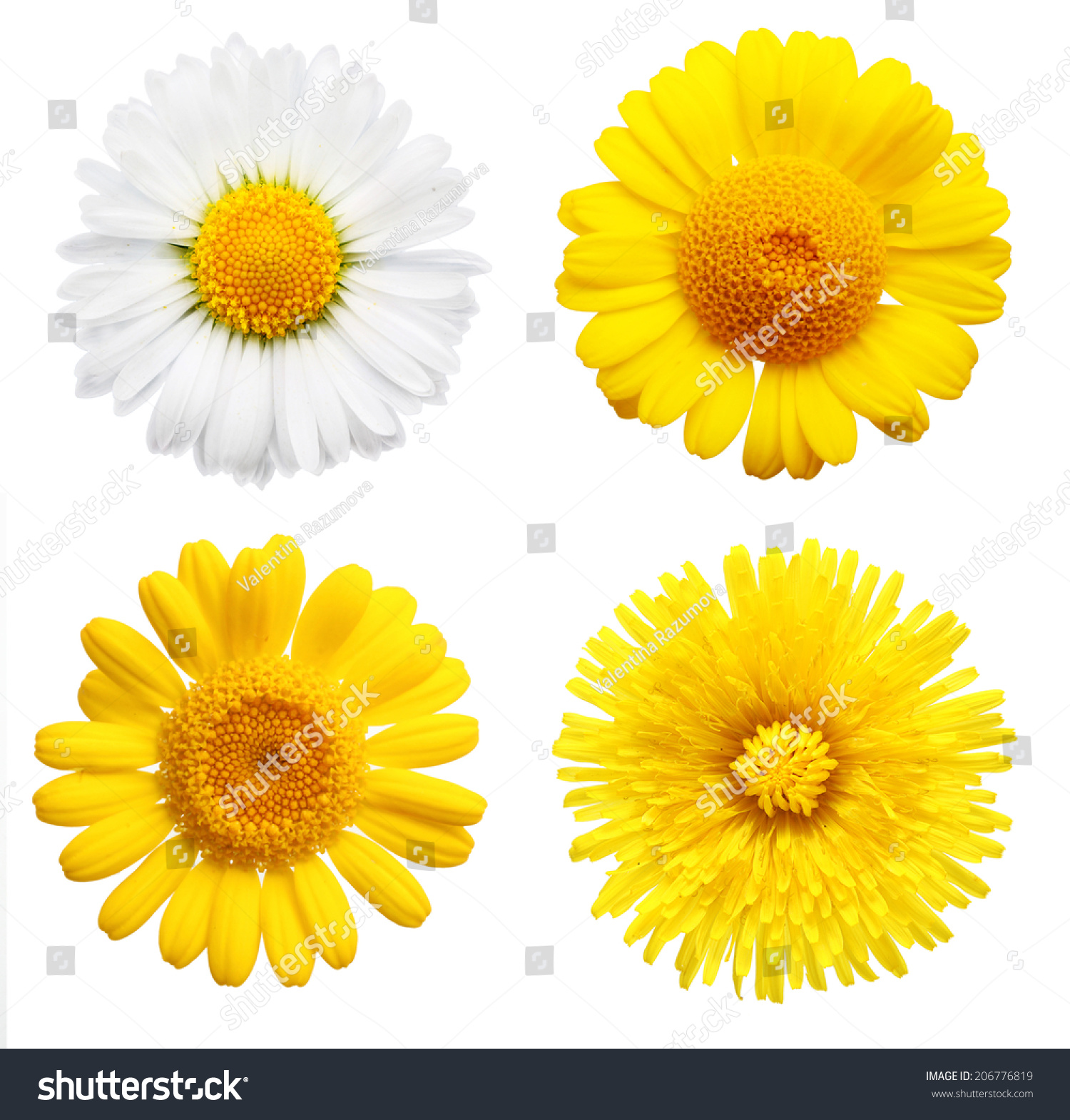 Yellow Daisy Flowers Isolated On White Stock Photo Edit Now