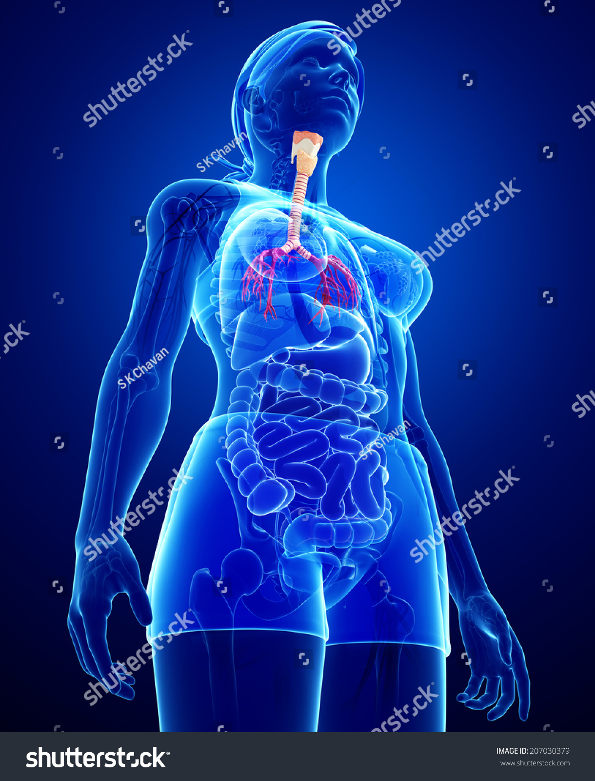 Illustration Female Throat Anatomy Stock Illustration 207030379 ...