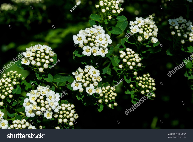 Shrub White Flowers White Shrub Gardens Stock Photo Edit Now