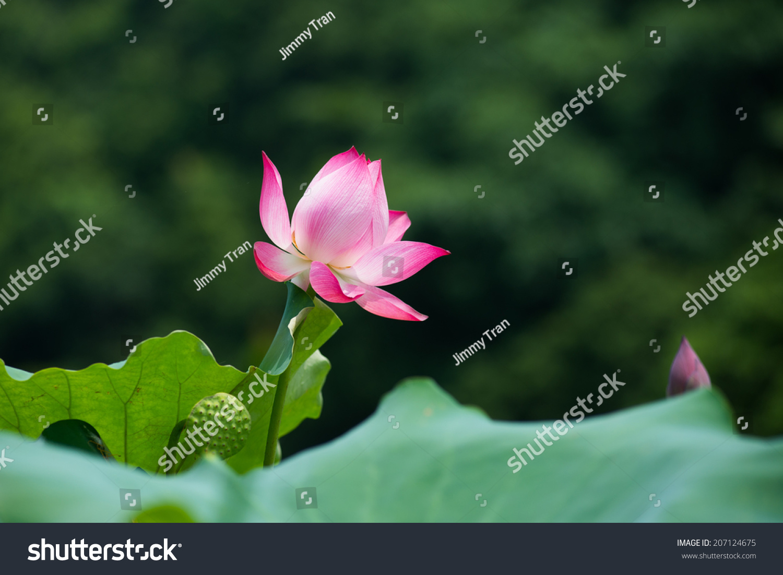 Lotus Flower Vietnam Stock Photo Edit Now 207124675 Shutterstock