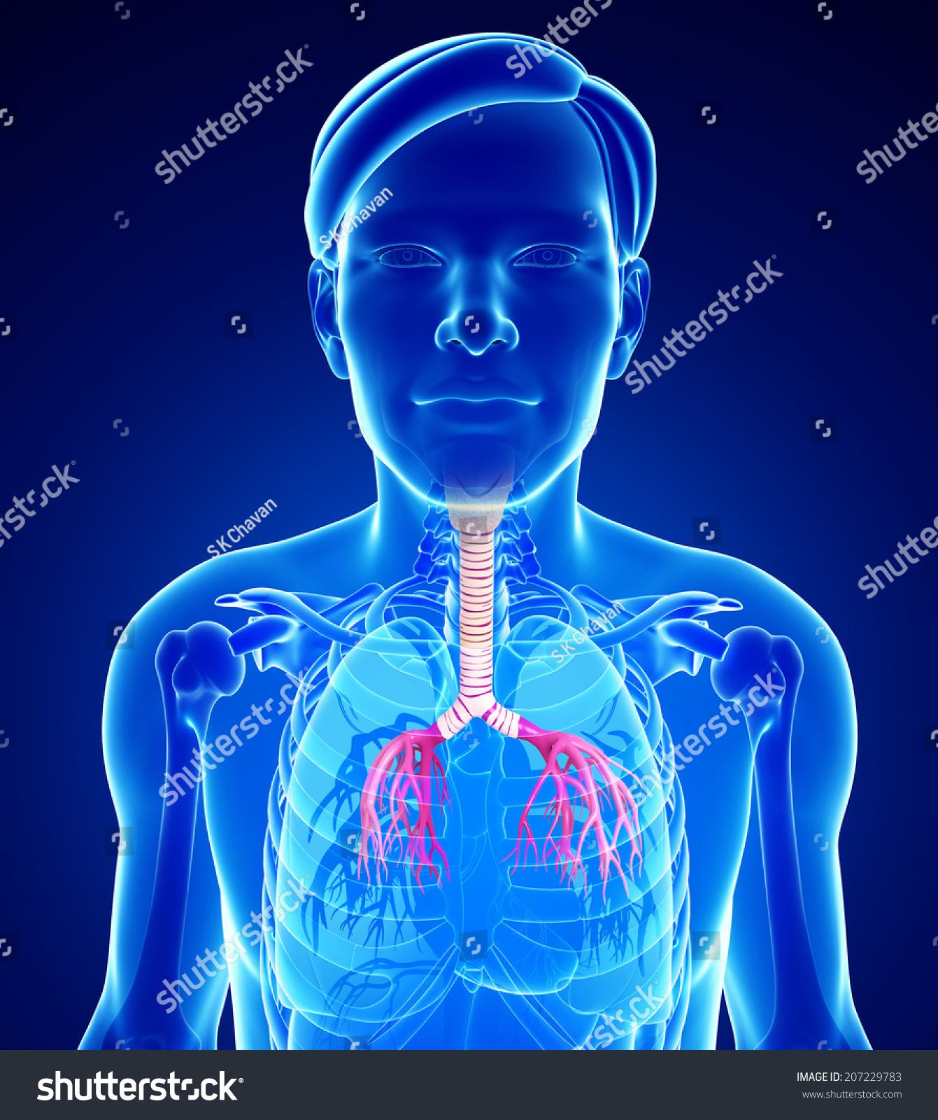 Illustration Male Throat Anatomy Stock Illustration 207229783