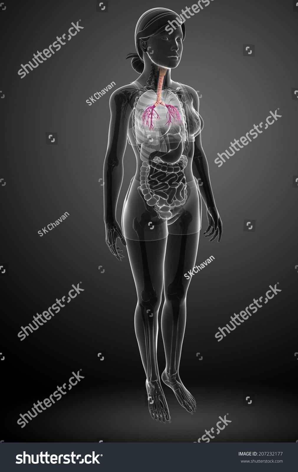 Illustration Female Throat Anatomy Stock Illustration 207232177