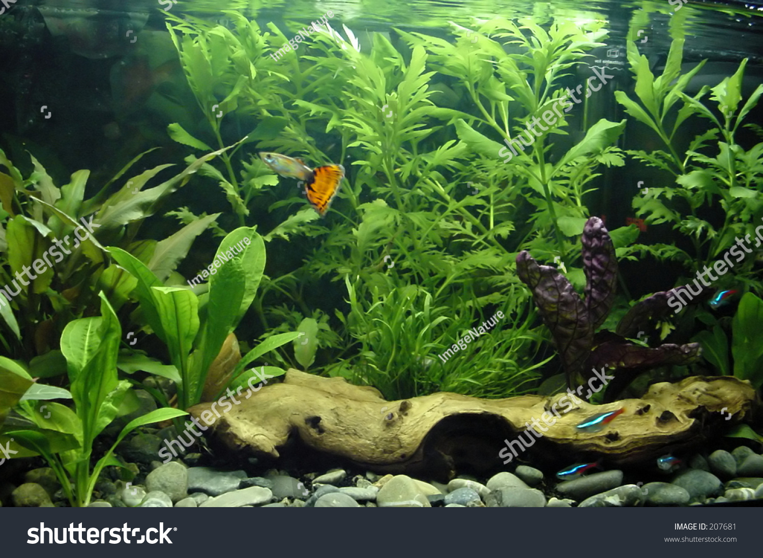 Colorful fish for aquarium freshwater - Tropical Freshwater Aquarium With Colorful Fish And Green Plants Preview Save To A Lightbox