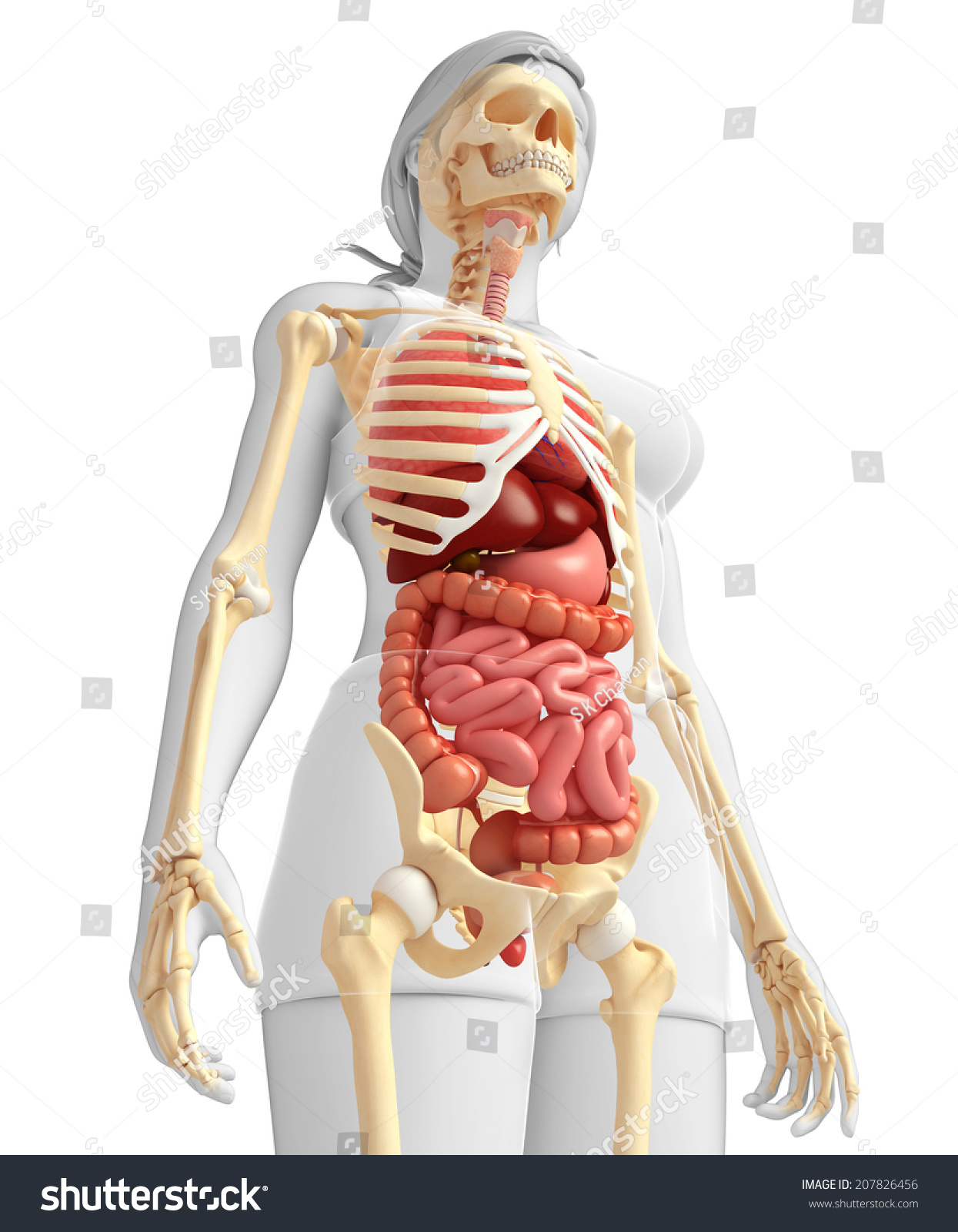 diagram of the esophagus and stomach illustration female skeleton digestive system stock
