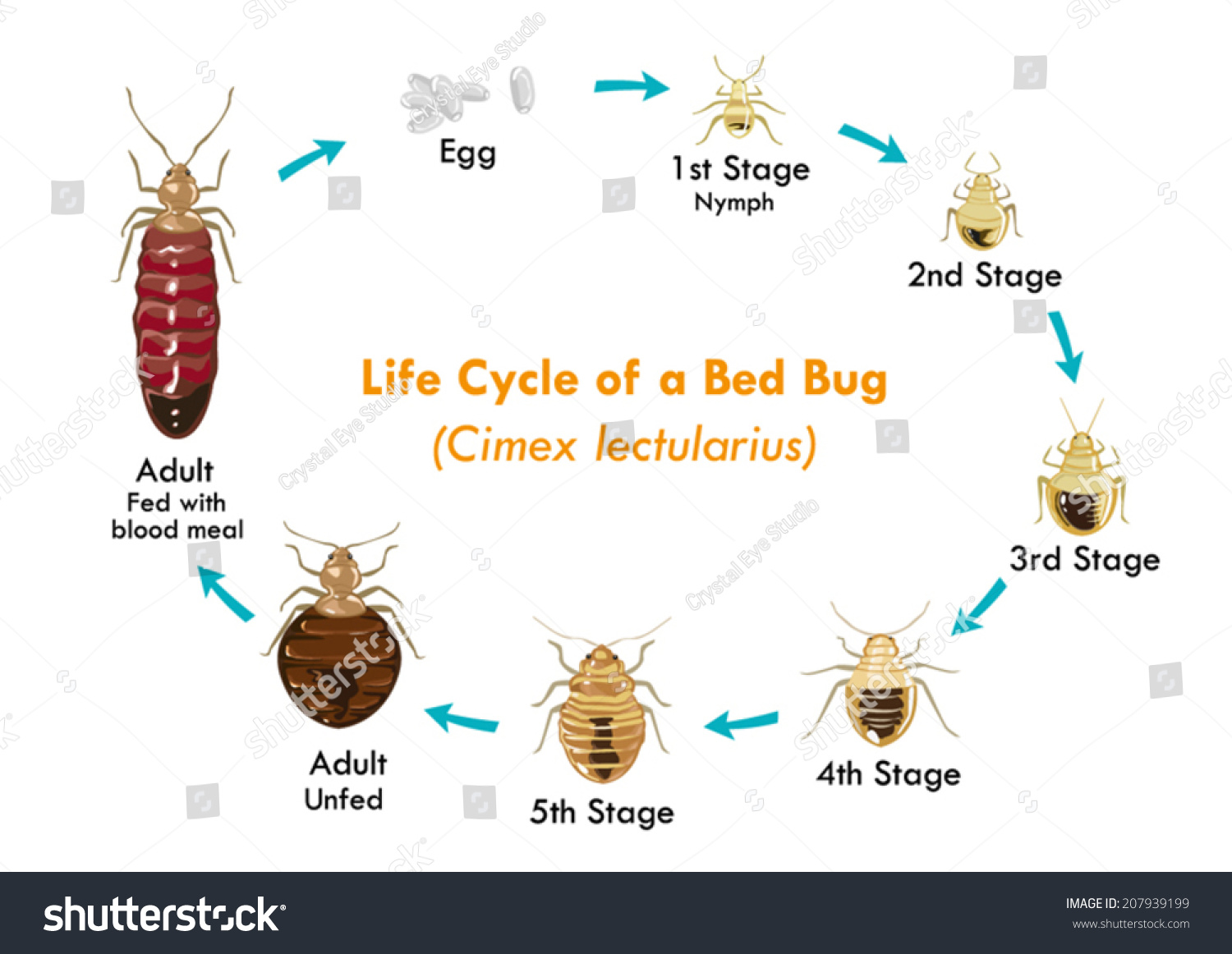 Life cycle bed bug vector eps10 stock vector 207939199 for Average lifespan of a mattress