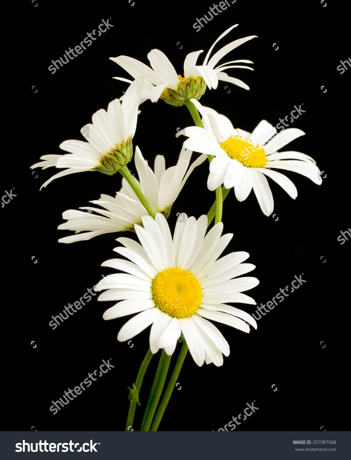 White Daisy Flower Against Black Background Imagen de ...