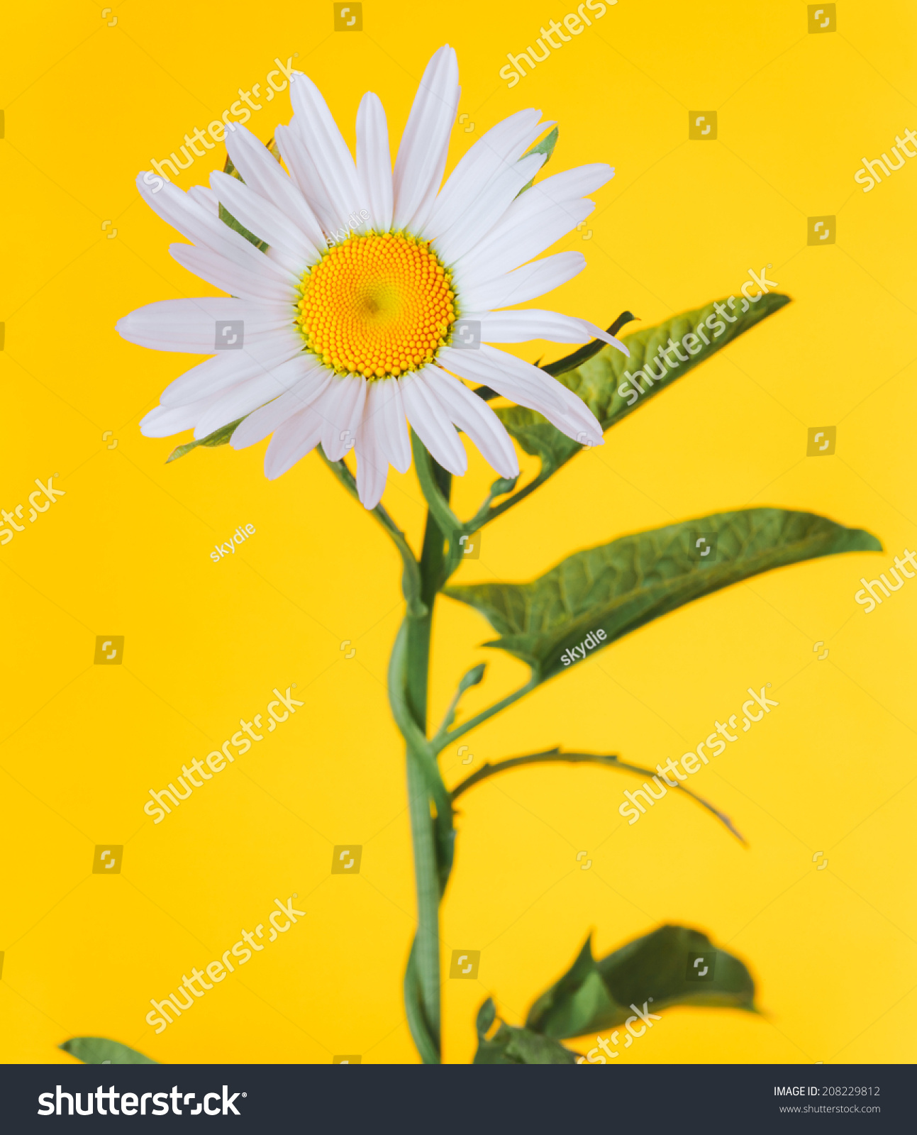 Daisylike flower leucanthemum species flowering plant stock photo the daisy like flower leucanthemum is a species of flowering plant in the izmirmasajfo
