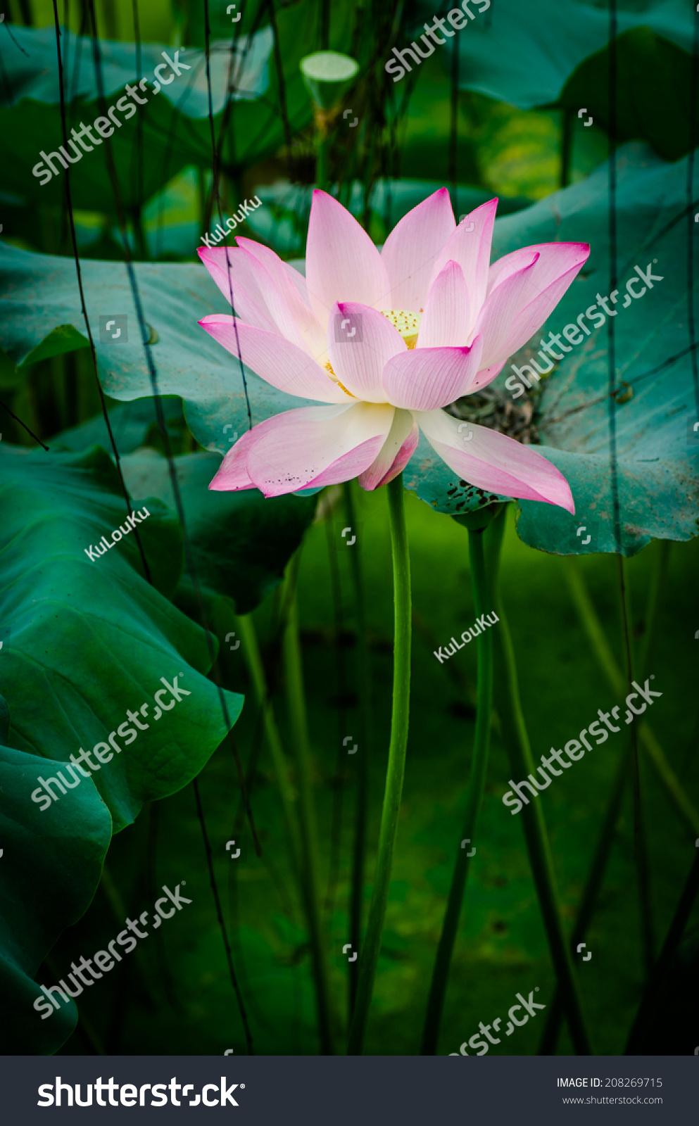 Beautiful lotus flower blooming stock photo royalty free 208269715 beautiful lotus flower blooming stock photo royalty free 208269715 shutterstock izmirmasajfo