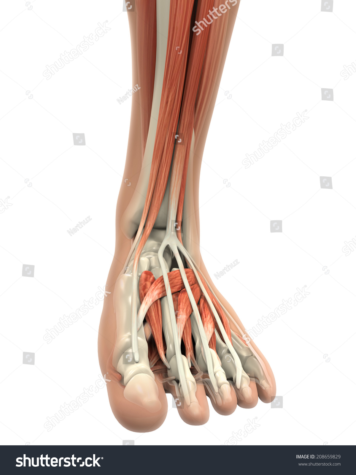 Human Foot Muscles Anatomy Stock Illustration 208659829 - Shutterstock