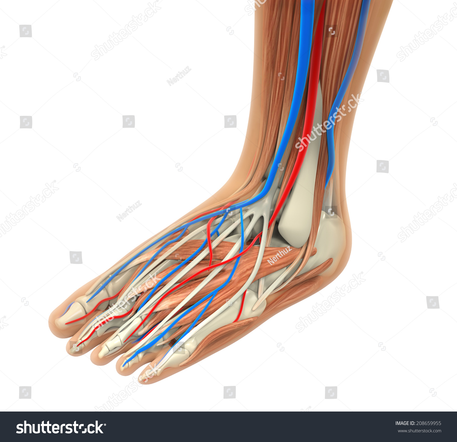 Human Foot Muscles Anatomy Stock Illustration 208659955 - Shutterstock