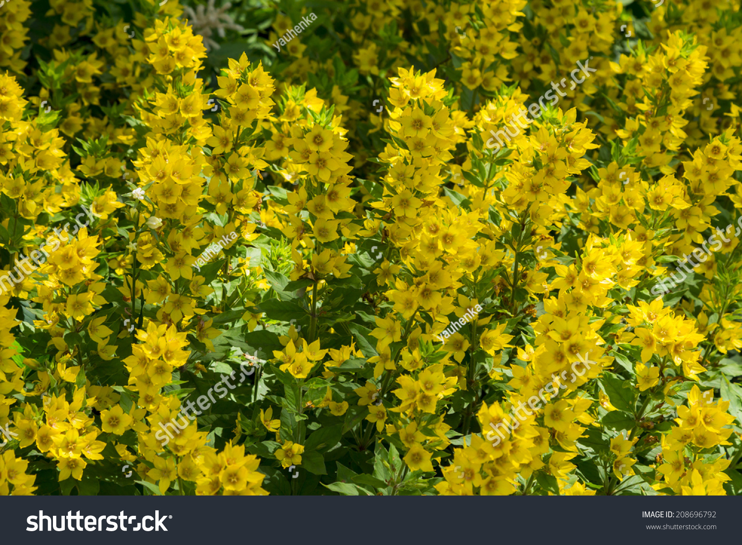 Background Of Yellow Flowers Sunny Day Ez Canvas