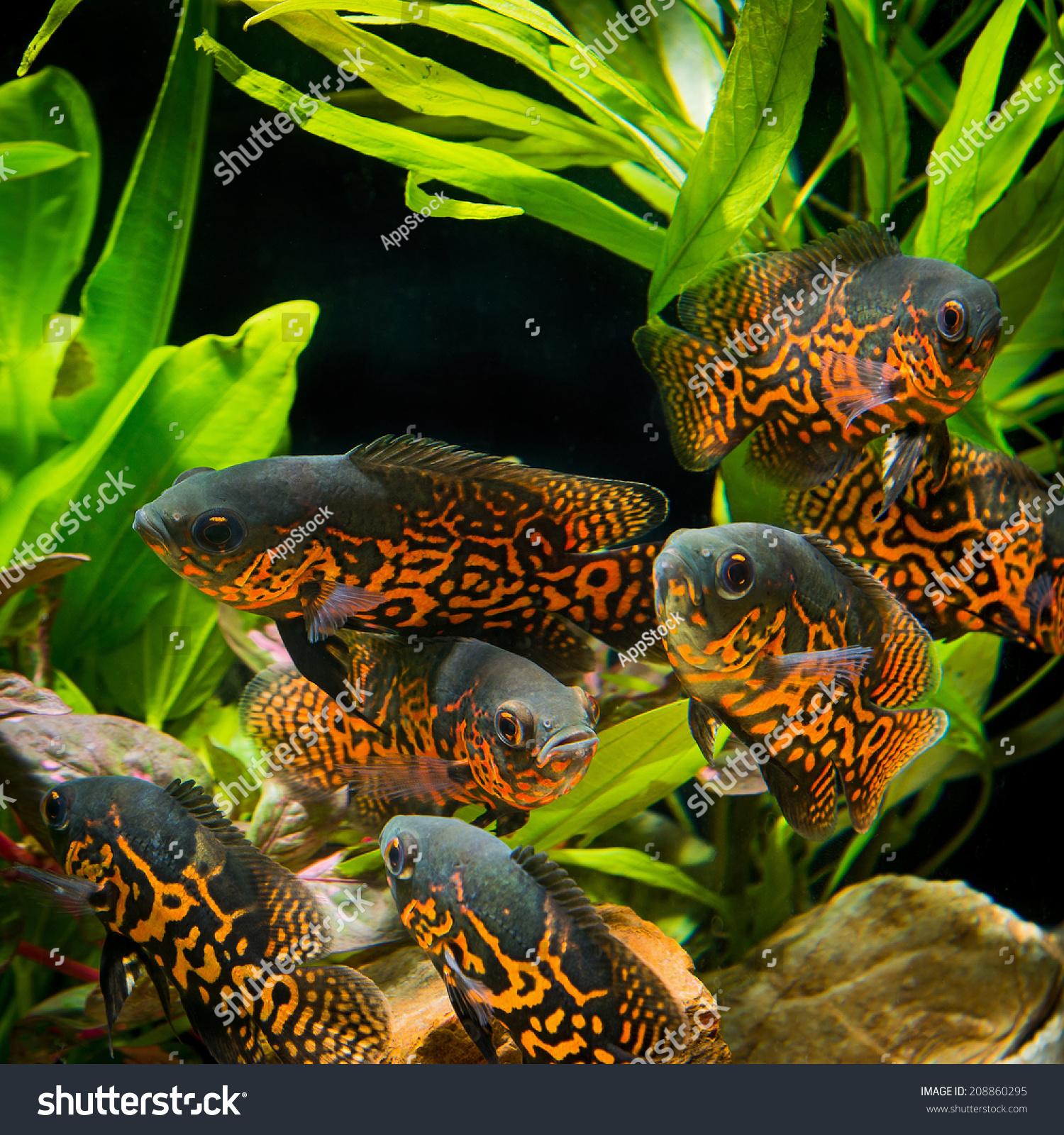 Fish aquarium oscar - Oscar Fish Astronotus Ocellatus Huge Cichlid Close Up Photo On Biotope