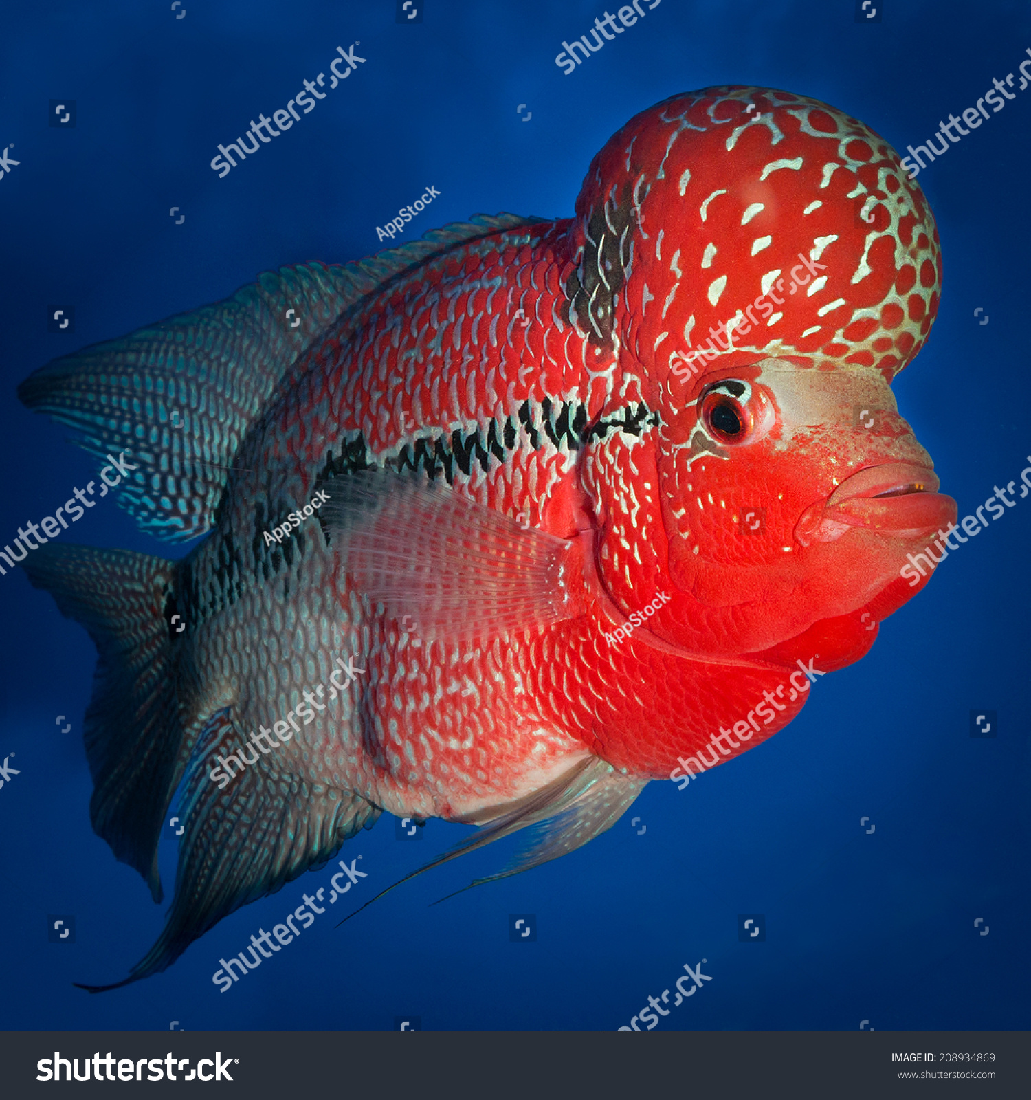 Flowerhorn Cichlid Fish On Blue Background Stock Photo (Royalty Free ...
