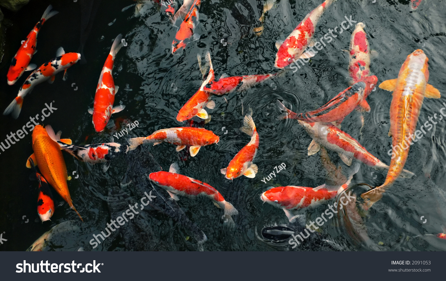 Red carp 39 koi 39 fishes in japanese pond foto stock 2091053 for Red koi carp