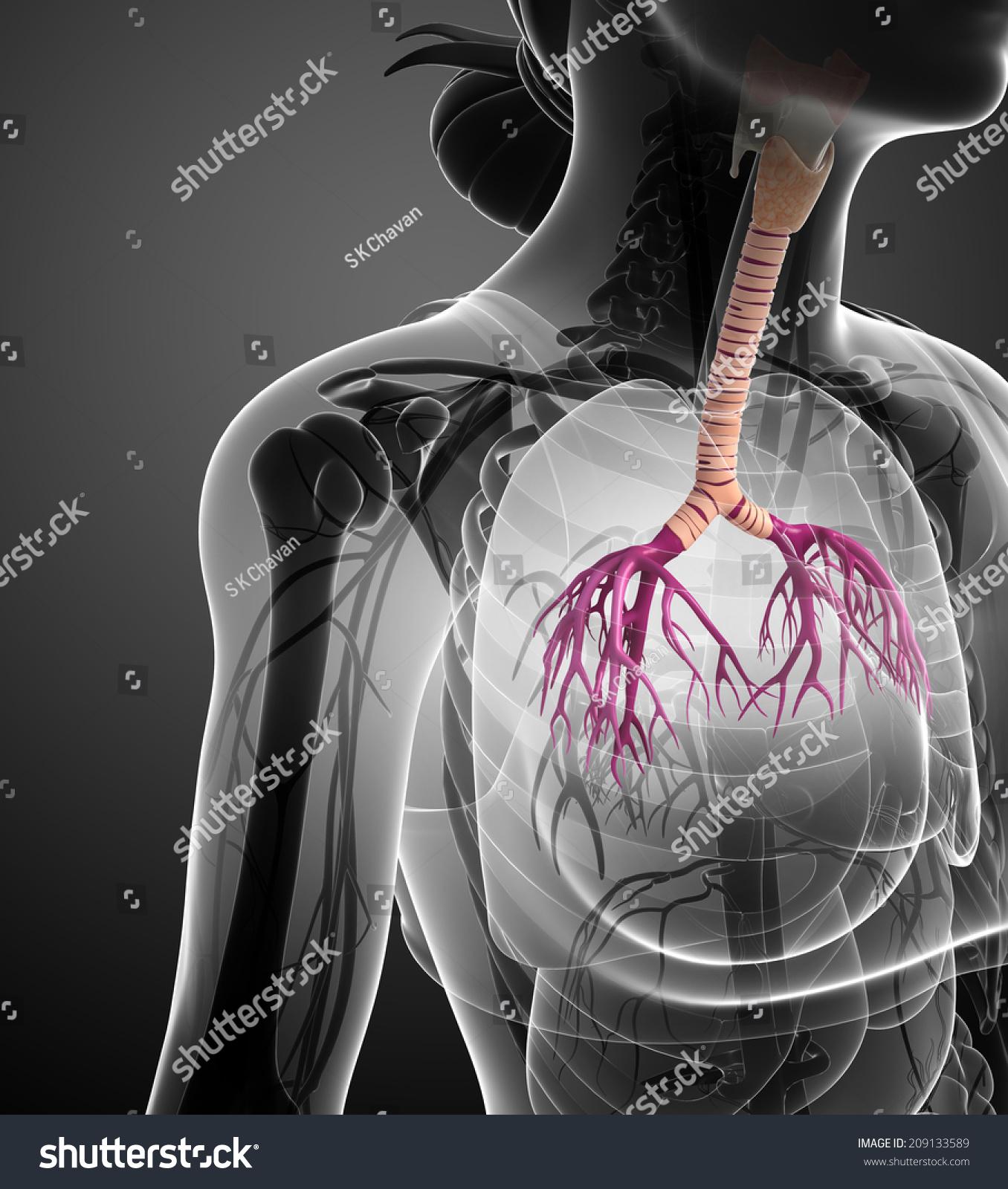 Illustration Female Throat Anatomy Stock Illustration 209133589
