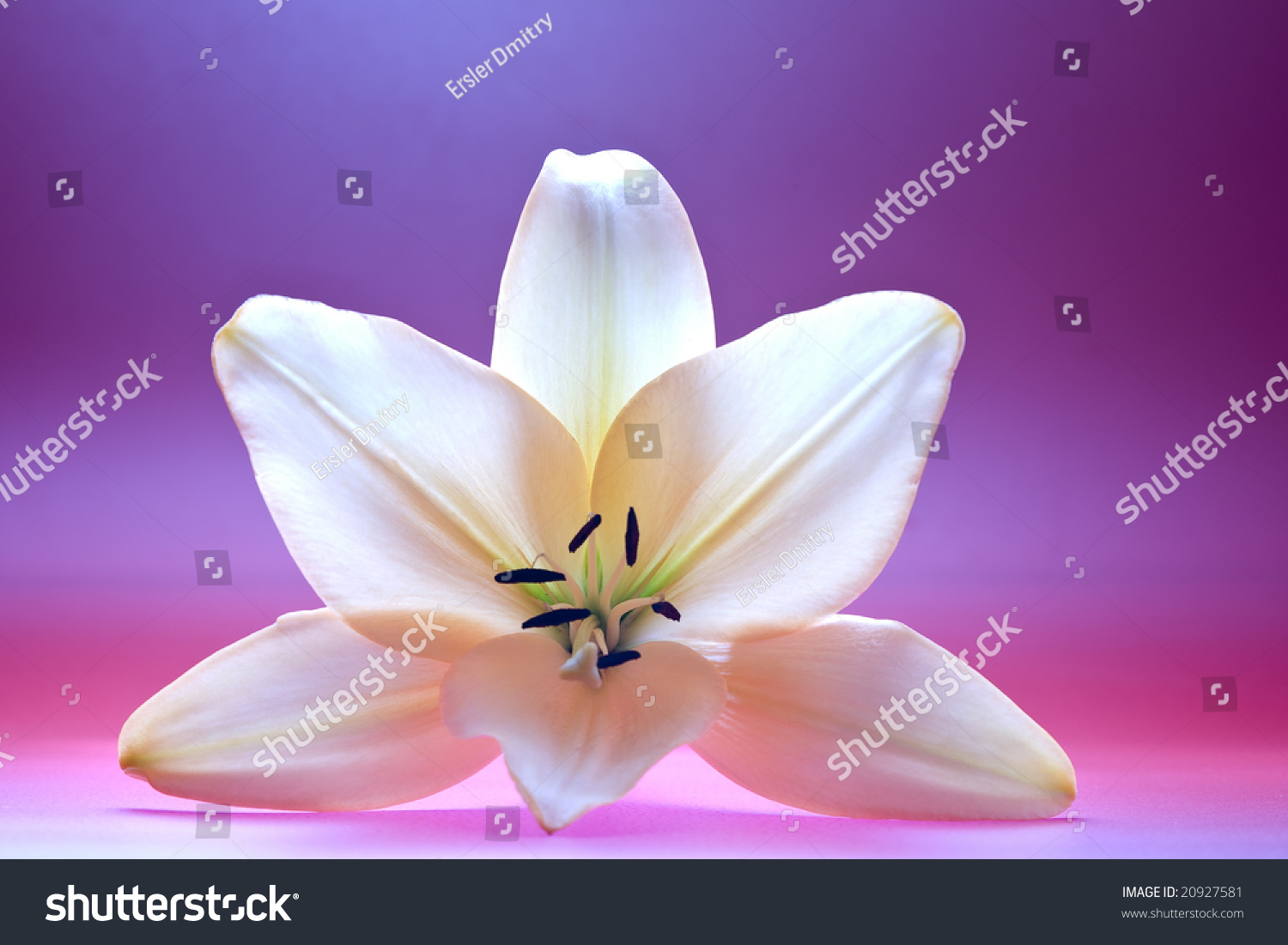 Close Up View Of Nice Fresh Madonna Lily Flower Stock
